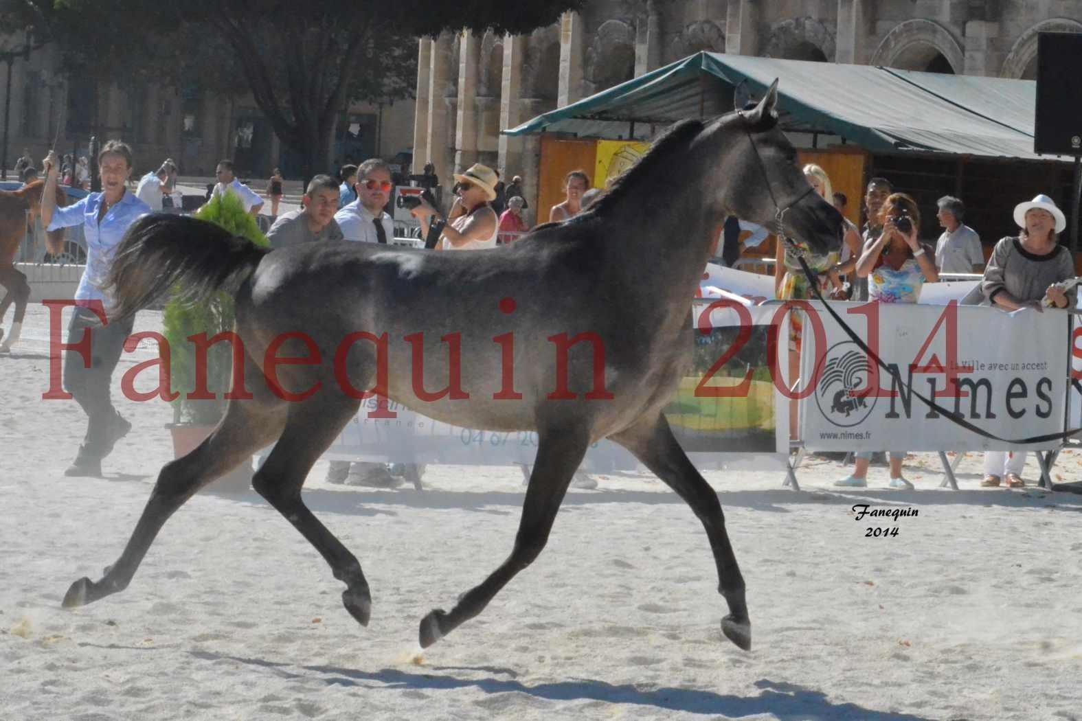 Concours National de Nîmes de chevaux ARABES 2014 - Notre Sélection - JOSEPH'S BOUZIOLS - 05