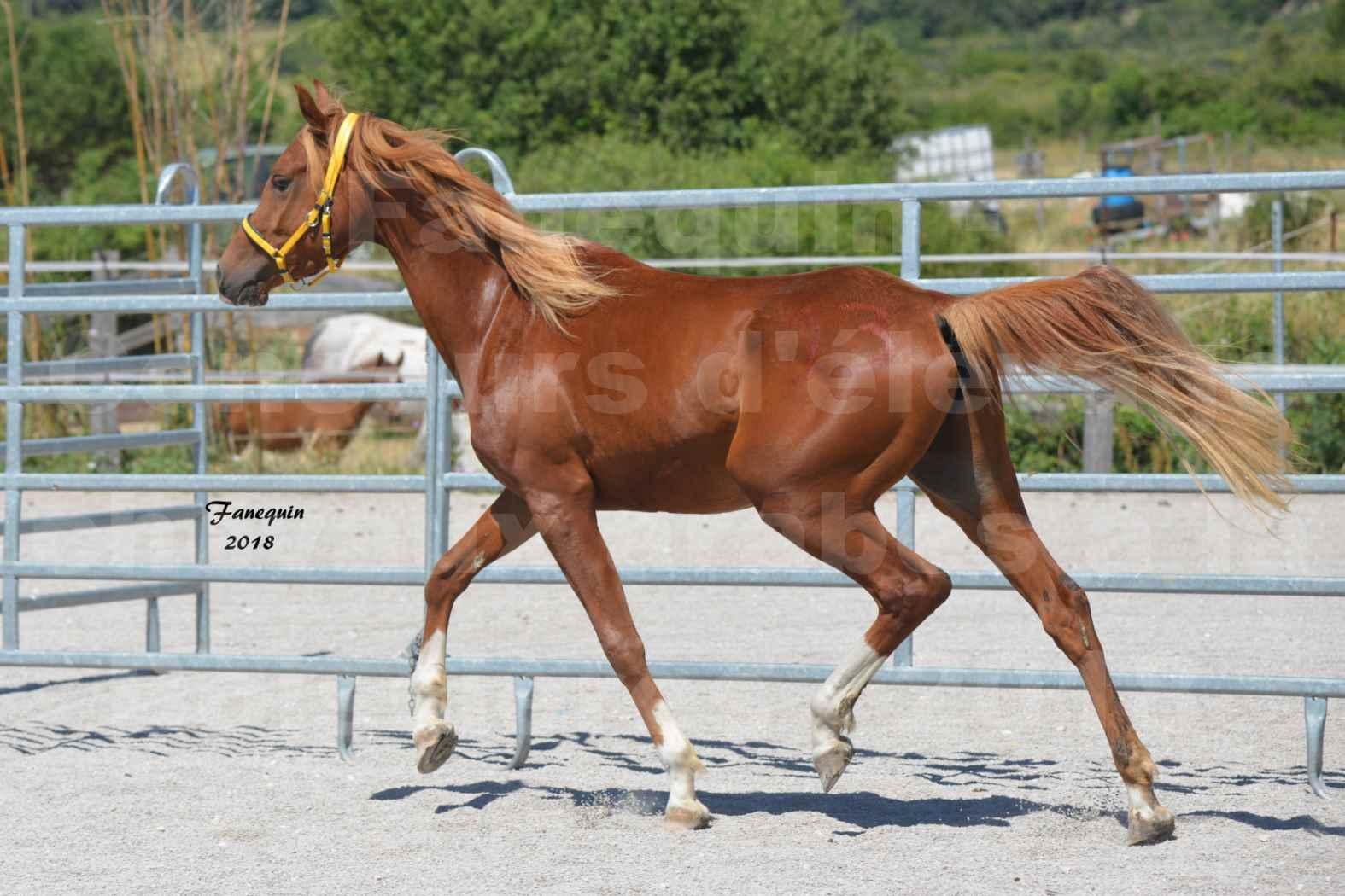 Concours d'Elevage de chevaux Arabes  le 27 juin 2018 à la BOISSIERE - FANGIO DES DOLINES - 04