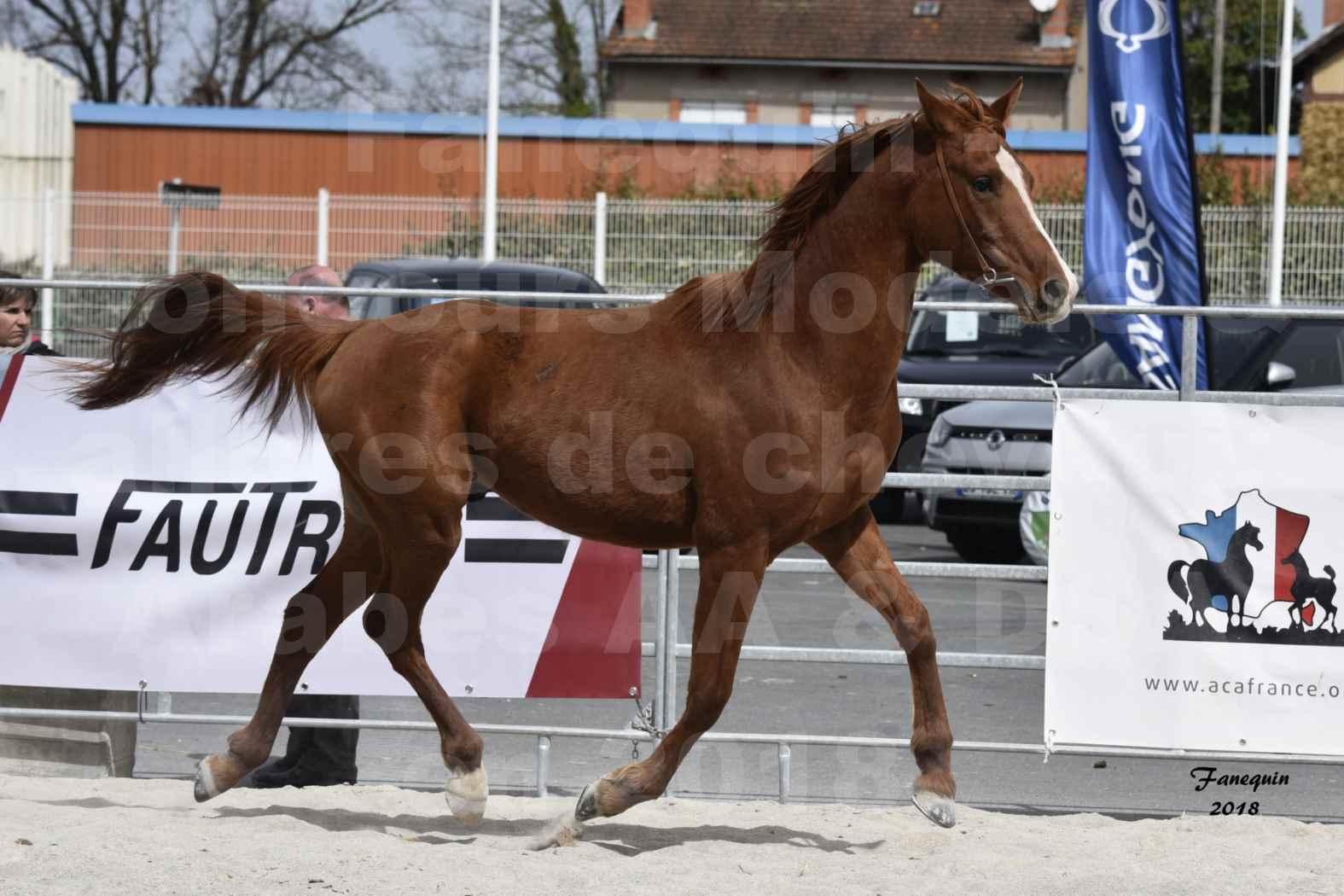 Concours d'élevage de Chevaux Arabes - D. S. A. - A. A. - ALBI les 6 & 7 Avril 2018 - FLEURON CONDO - Notre Sélection - 2