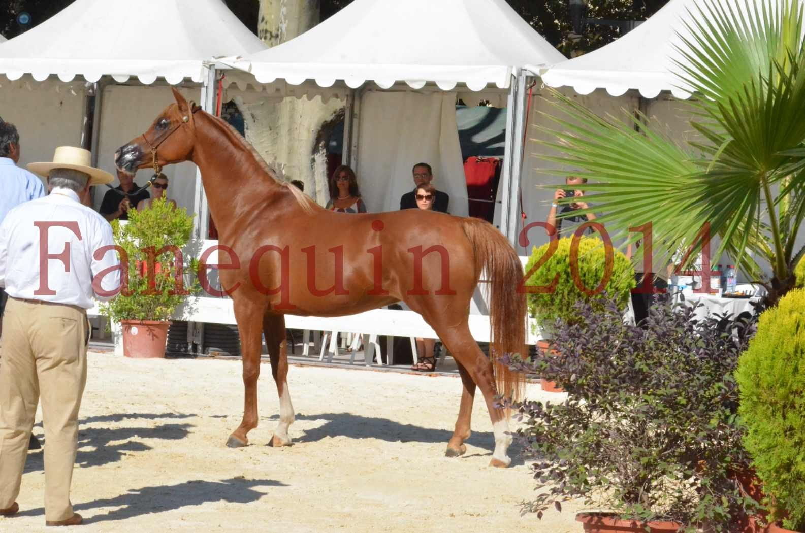 Concours National de Nîmes de chevaux ARABES 2014 - Championnat - MASSAI DE BARREL - 82