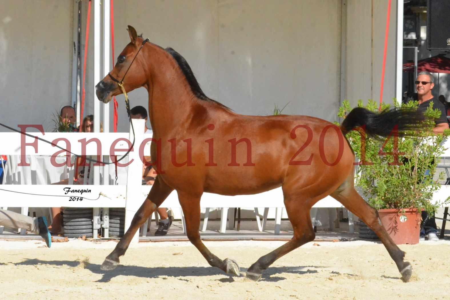 Concours National de Nîmes de chevaux ARABES 2014 - Notre Sélection - ABHA TALAWA - 5