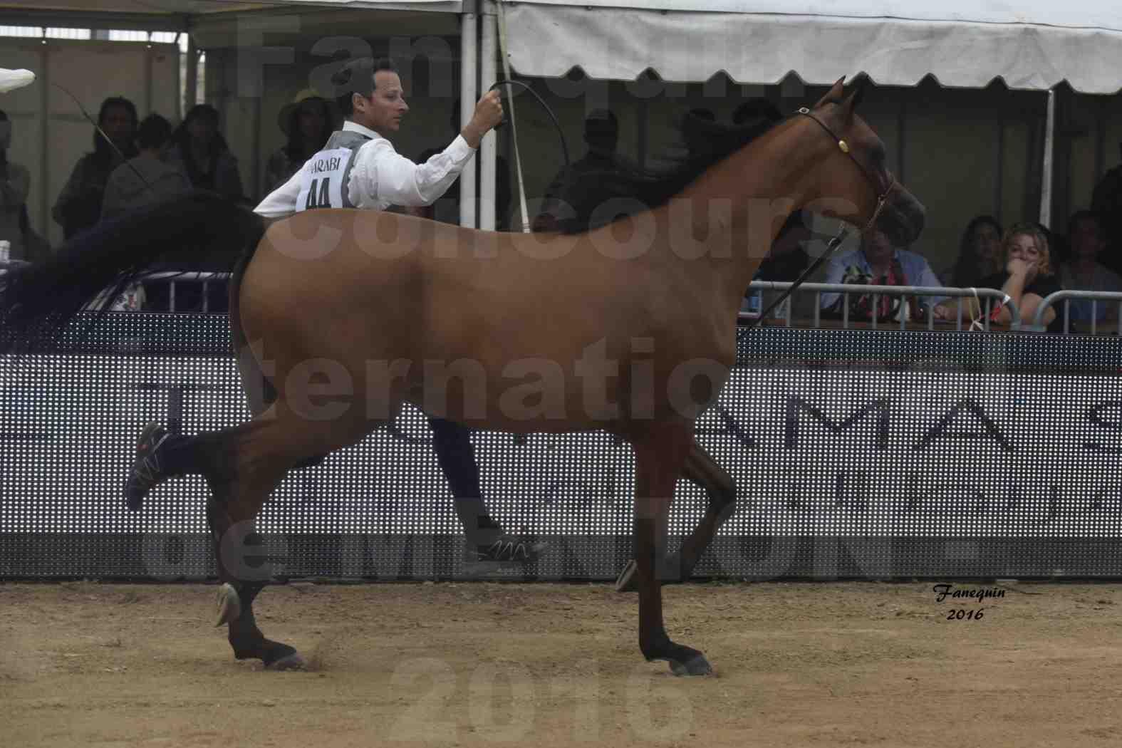 Championnat du Pur-Sang Arabe de la Méditerranée et des pays Arabes - MENTON 2016 - MAZAYA DOMITIA - Notre Sélection - 05
