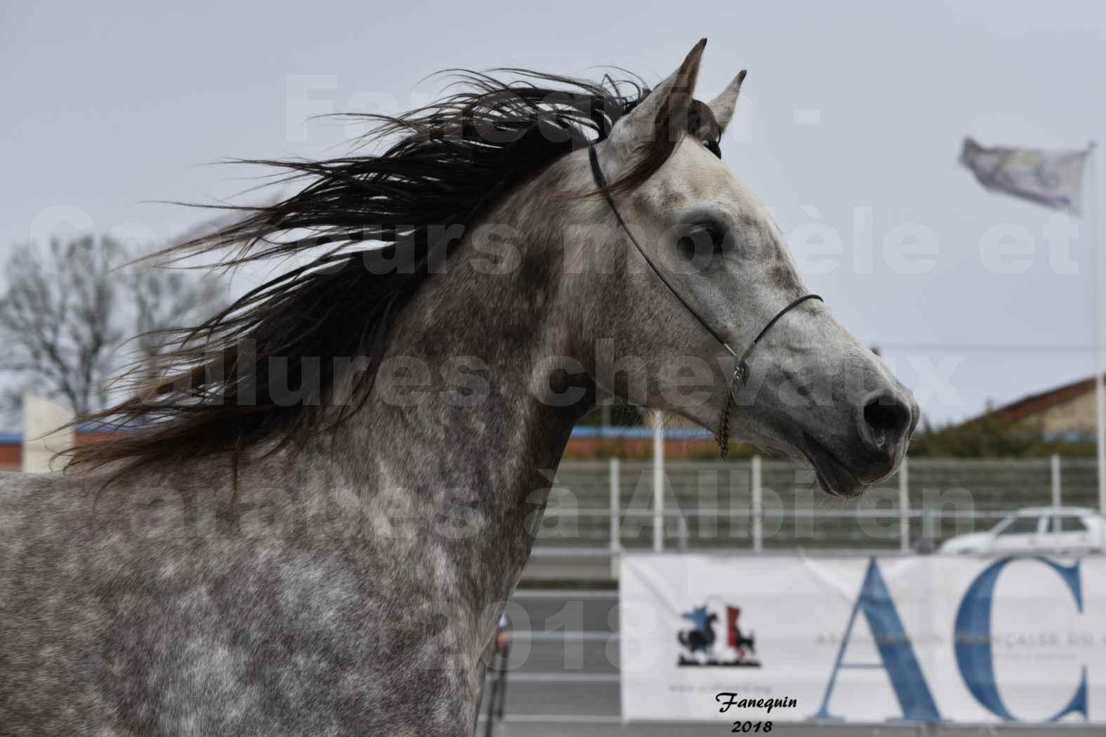 Concours d'élevage de Chevaux Arabes - Demi Sang Arabes - Anglo Arabes - ALBI les 6 & 7 Avril 2018 - PERCEVAL DE LAFON - Notre Sélection - Portraits - 09