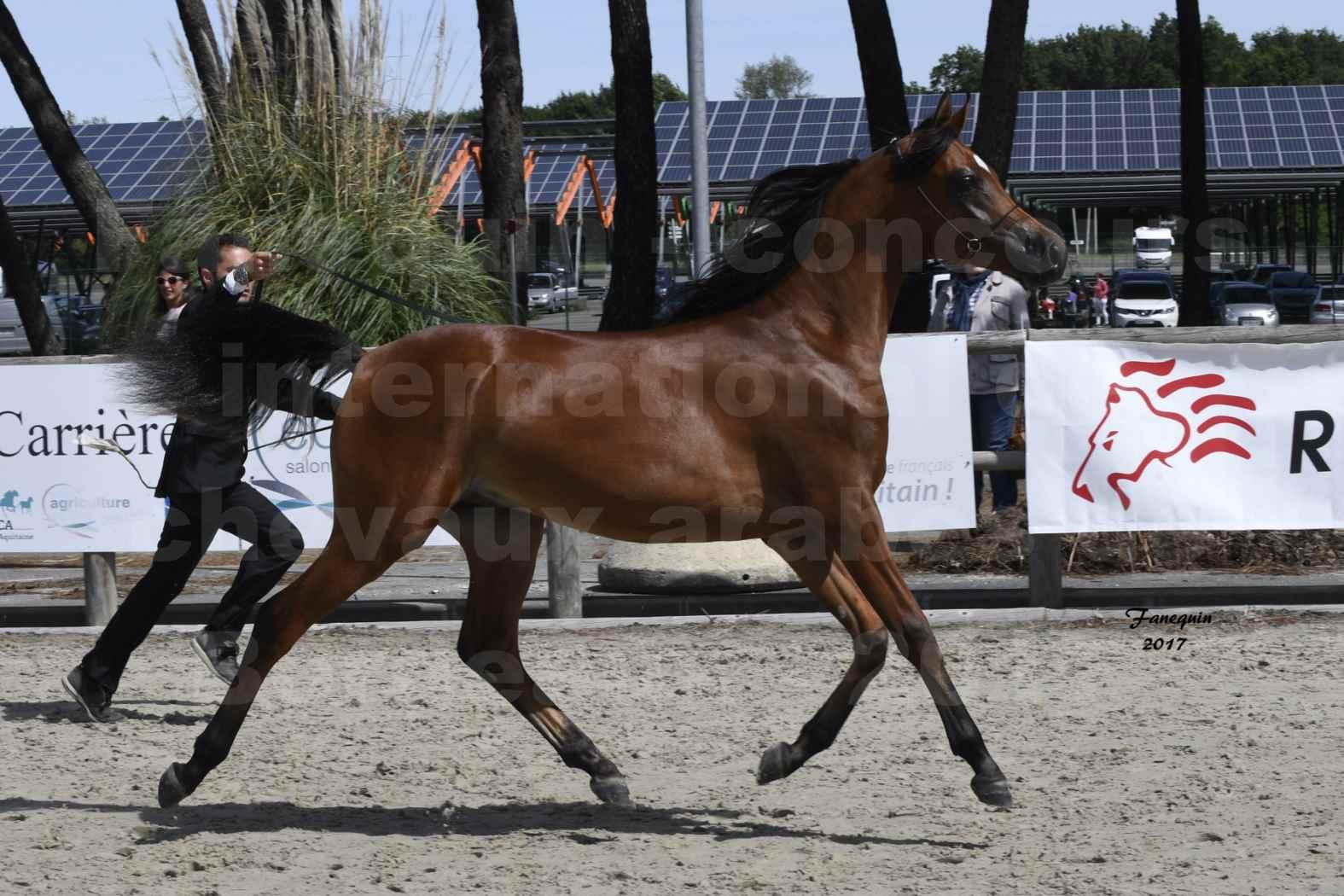"""Concours international de chevaux ARABES - """"Arabian Masters"""" Bordeaux 2017 - JABBOK DE NAUTIAC - 35"""