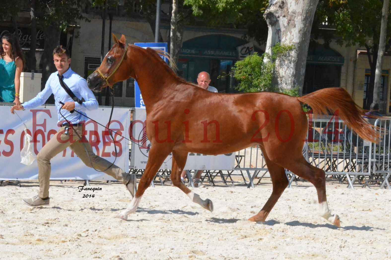 Concours National de Nîmes de chevaux ARABES 2014 - Notre Sélection - DZHARI NUNKI - 04