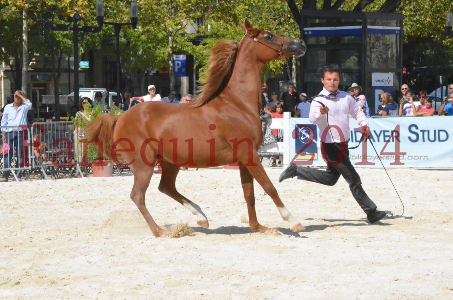 Concours National de Nîmes de chevaux ARABES 2014 - Championnat - MASSAI DE BARREL - 31
