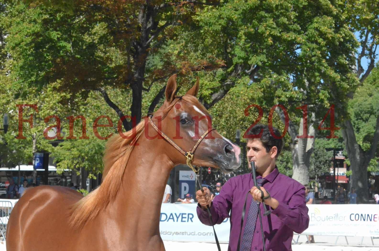 Concours National de Nîmes de chevaux ARABES 2014 - TSAR NERIO - 10