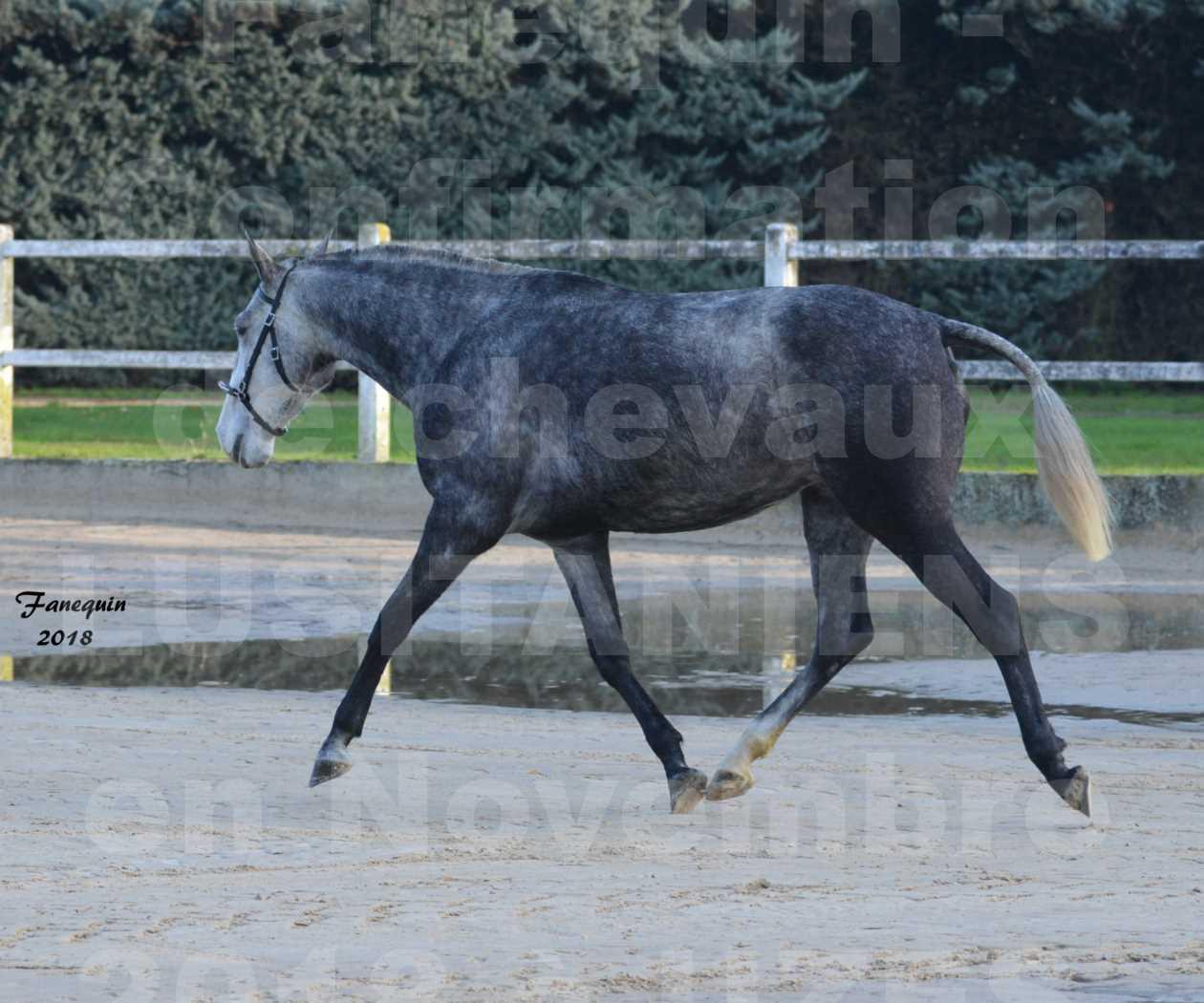 Confirmation de chevaux LUSITANIENS aux Haras d'UZES Novembre 2018 - DALIA DU CLOS - 1