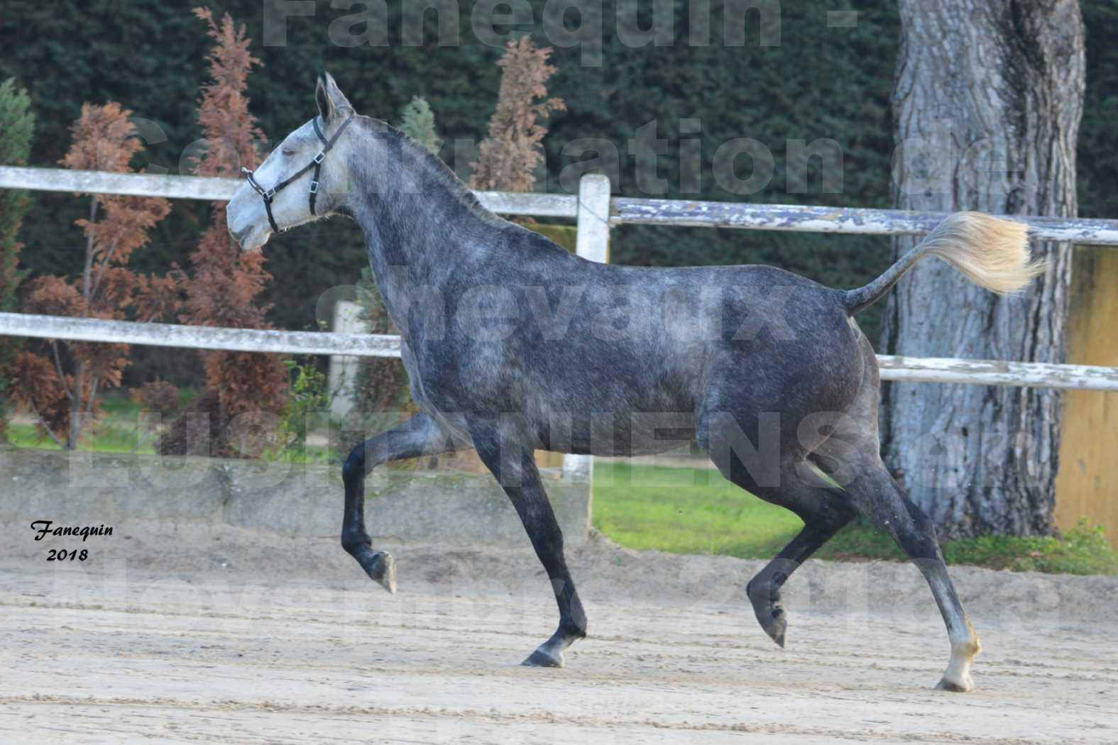 Confirmation de chevaux LUSITANIENS aux Haras d'UZES Novembre 2018 - DALIA DU CLOS - 6