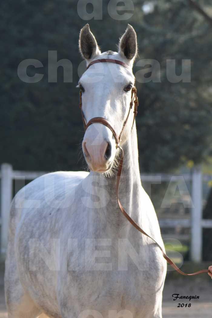 Confirmation de chevaux LUSITANIENS aux Haras d'UZES Novembre 2018 - LUTECE DU CASTEL - Portraits - 3
