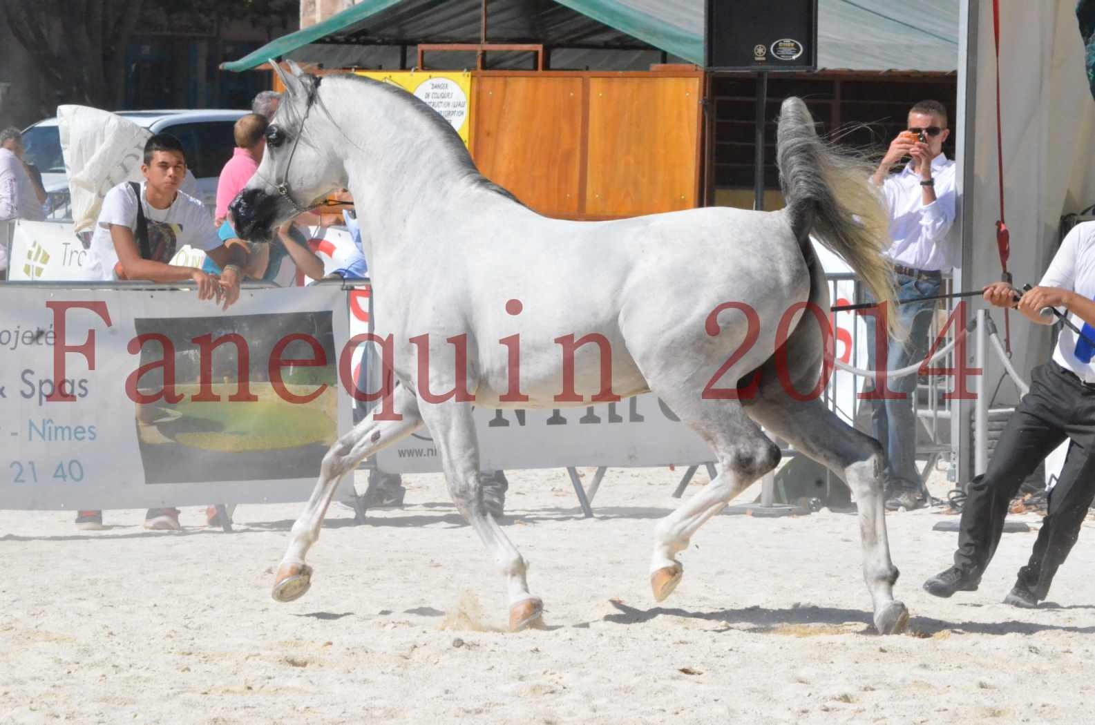 Concours National de Nîmes de chevaux ARABES 2014 - Sélection - SHAOLIN DE NEDJAIA - 34