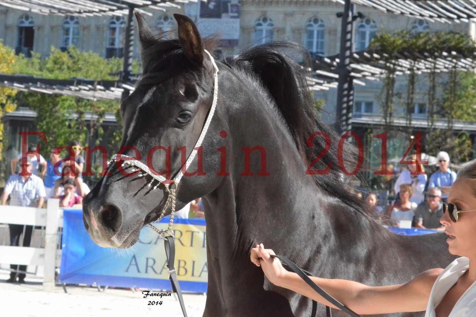 Concours National de Nîmes de chevaux ARABES 2014 - Notre Sélection - Portraits - BALTYK DE CHAUMONT - 2
