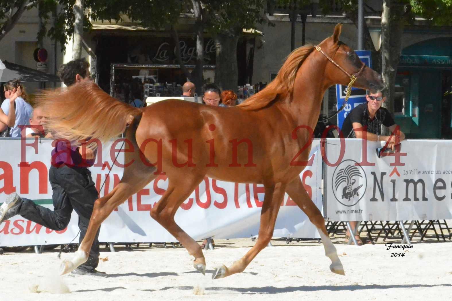 Concours National de Nîmes de chevaux ARABES 2014 - Notre Sélection - TSAR NERIO - 06