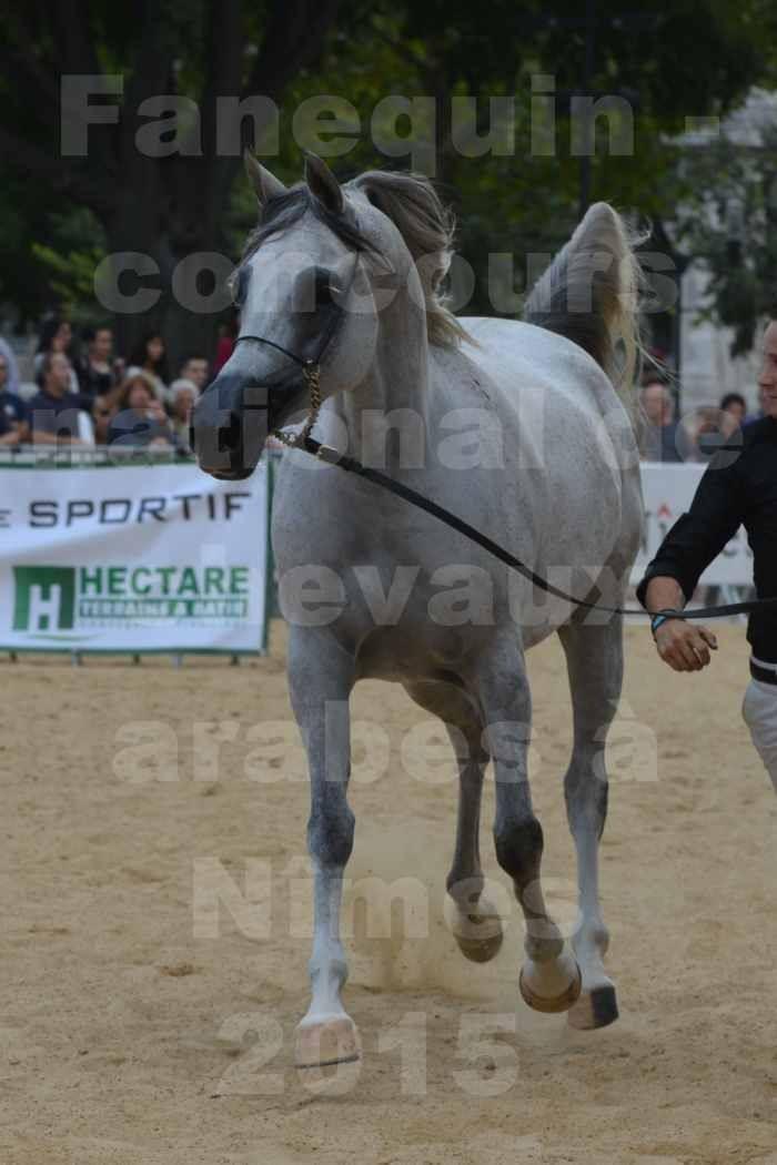 concours National de chevaux Arabes à Nîmes - les 12 & 13 septembre 2015 - 5