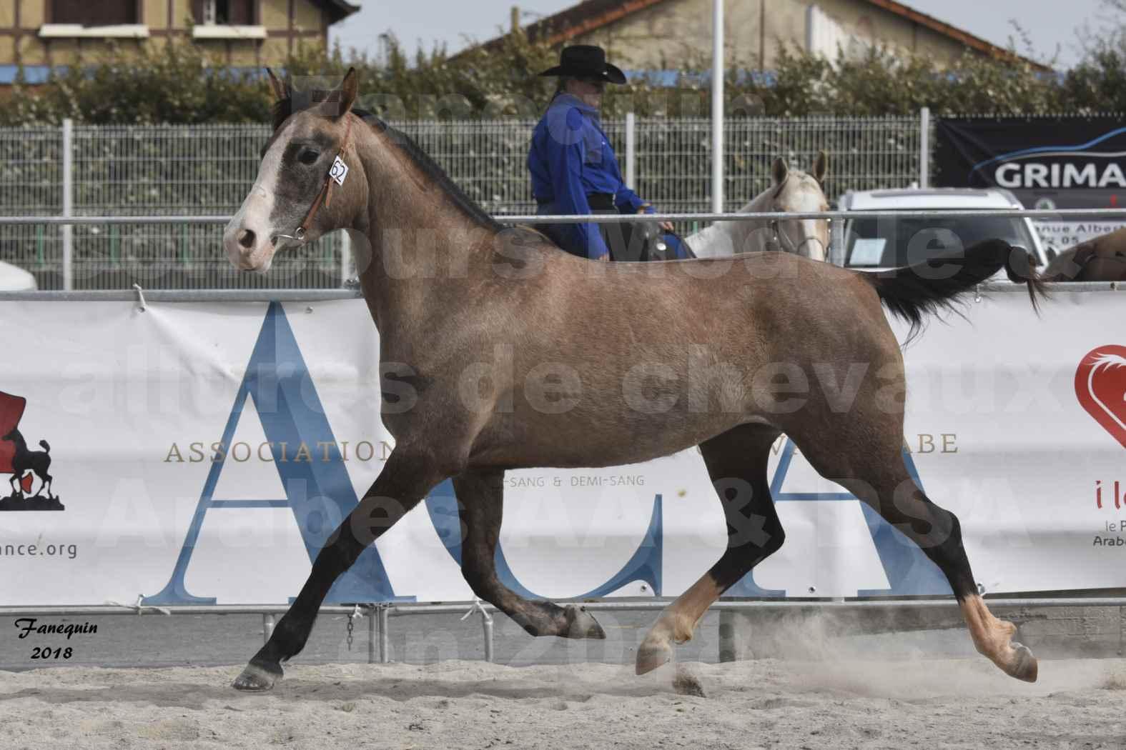 Concours d'élevage de Chevaux Arabes - D. S. A. - A. A. - ALBI les 6 & 7 Avril 2018 - FLORIA DU PUECH - Notre Sélection 05