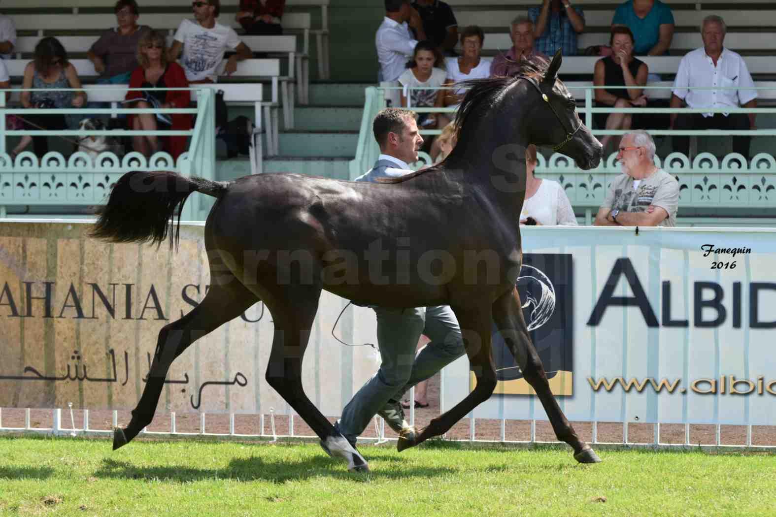 International Arabian Horse Show B de VICHY 2016 - ANNALISA ALIH - Notre Sélection - 3