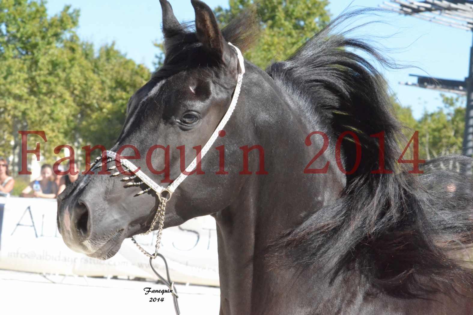 Concours National de Nîmes de chevaux ARABES 2014 - Notre Sélection - Portraits - BALTYK DE CHAUMONT - 3