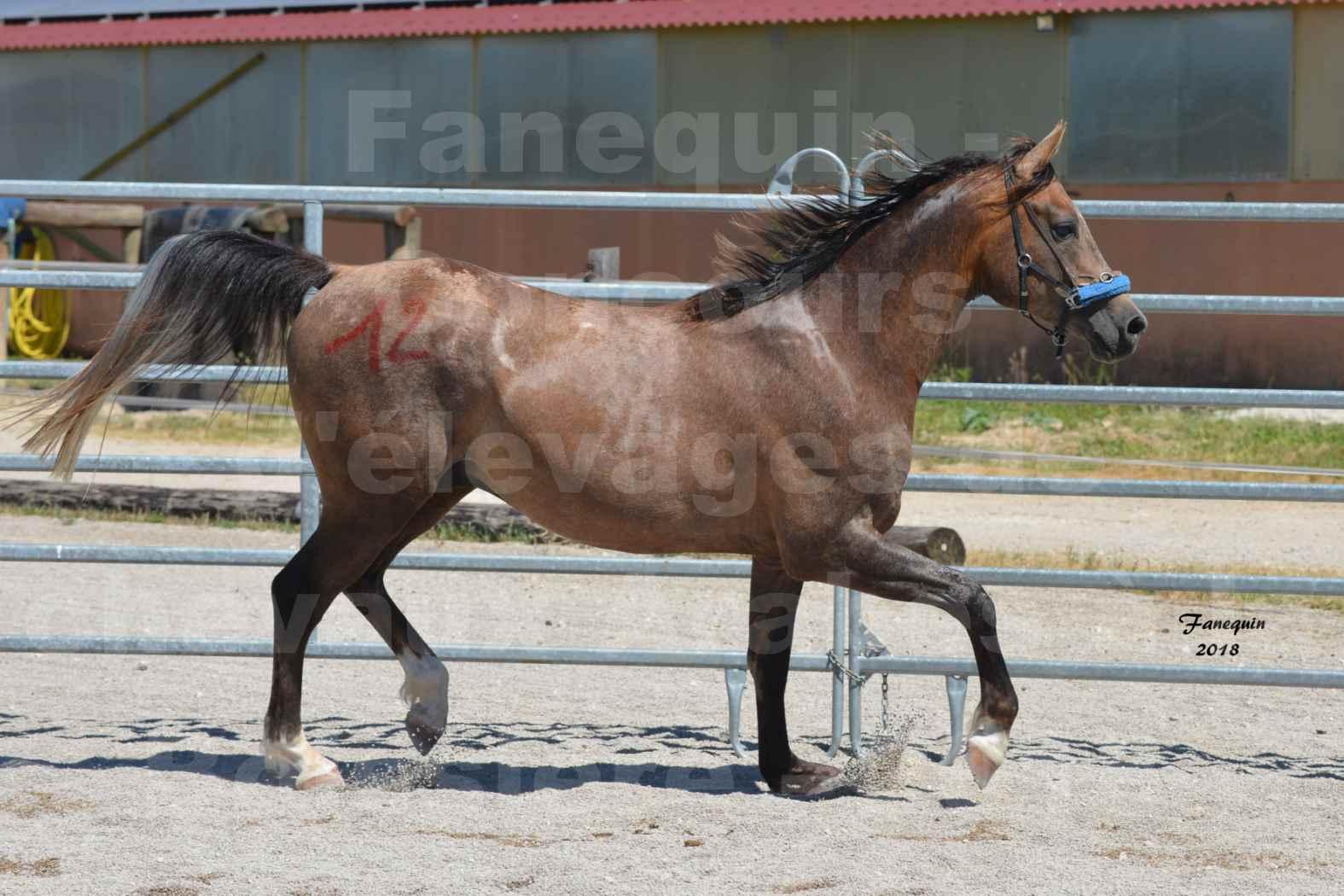 Concours d'Elevage de chevaux Arabes  le 27 juin 2018 à la BOISSIERE - MAREK LOTOIS - 7