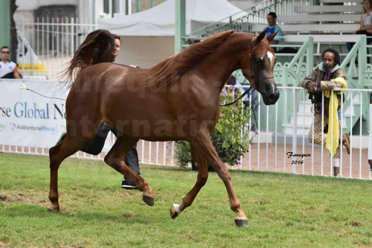 International Arabian Horse Show B de VICHY 2016 - PEARL DE DJOON - Notre Sélection - 29