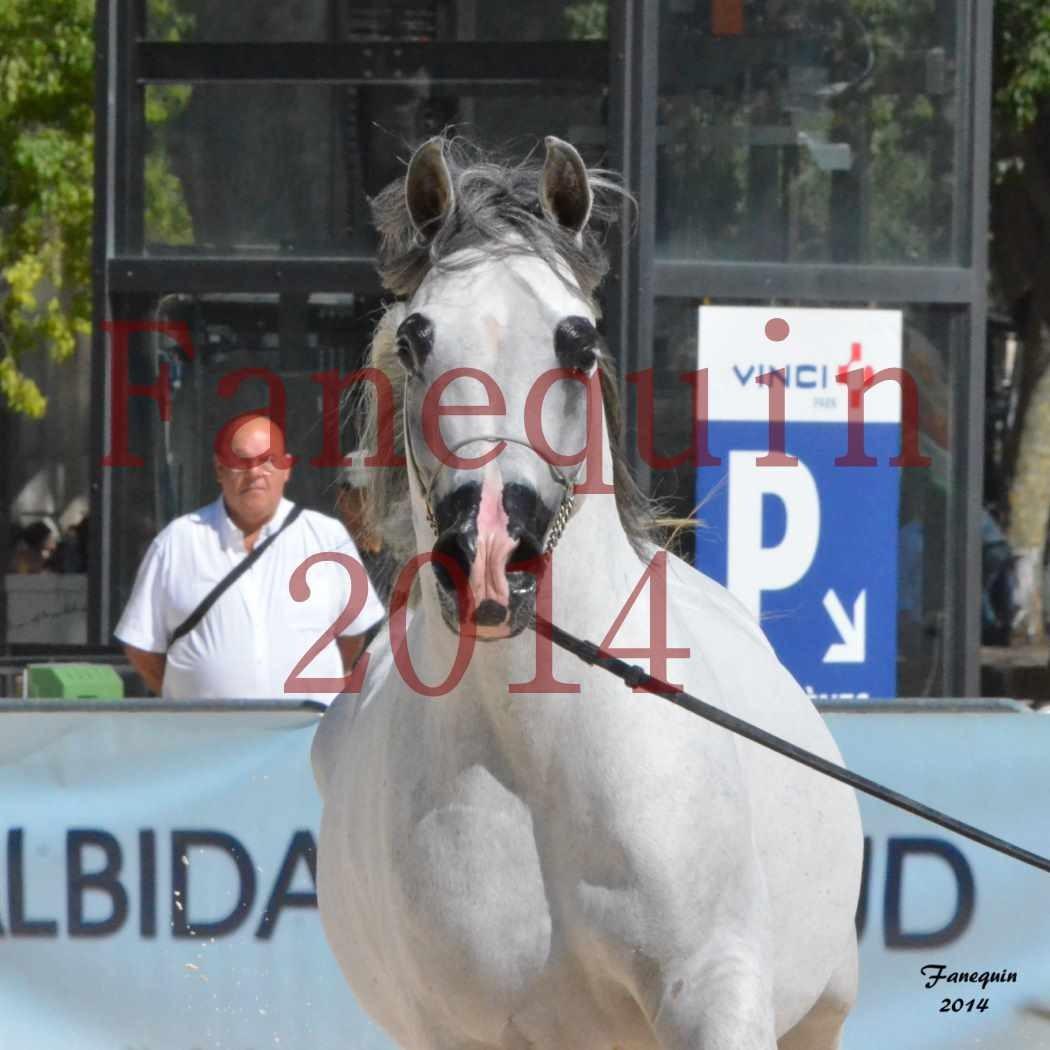 Concours National de Nîmes de chevaux ARABES 2014 - Notre Sélection - Portraits - SHAOLIN DE NEDJAIA - 05
