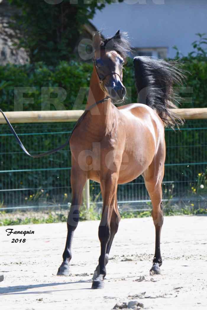 Championnat de FRANCE de chevaux Arabes à Pompadour en 2018 - BO AS ALEXANDRA - Notre Sélection - 35