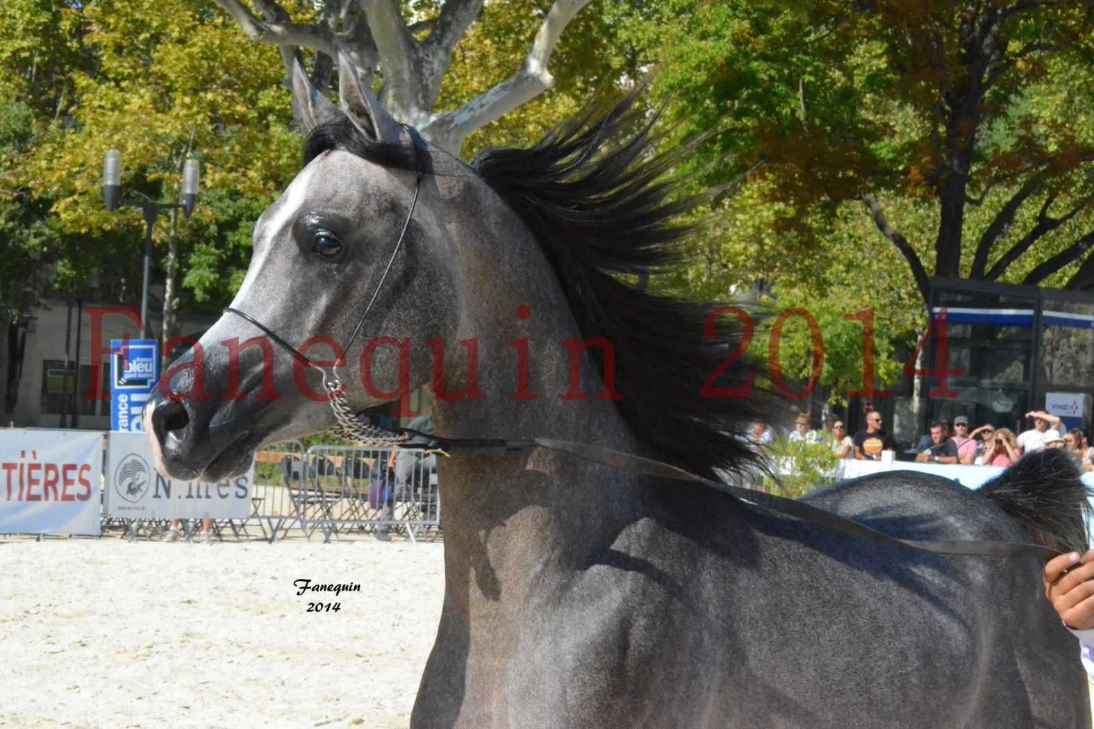 Concours National de Nîmes de chevaux ARABES 2014 - Notre Sélection - Portraits - JOSEPH'S BOUZIOLS - 01