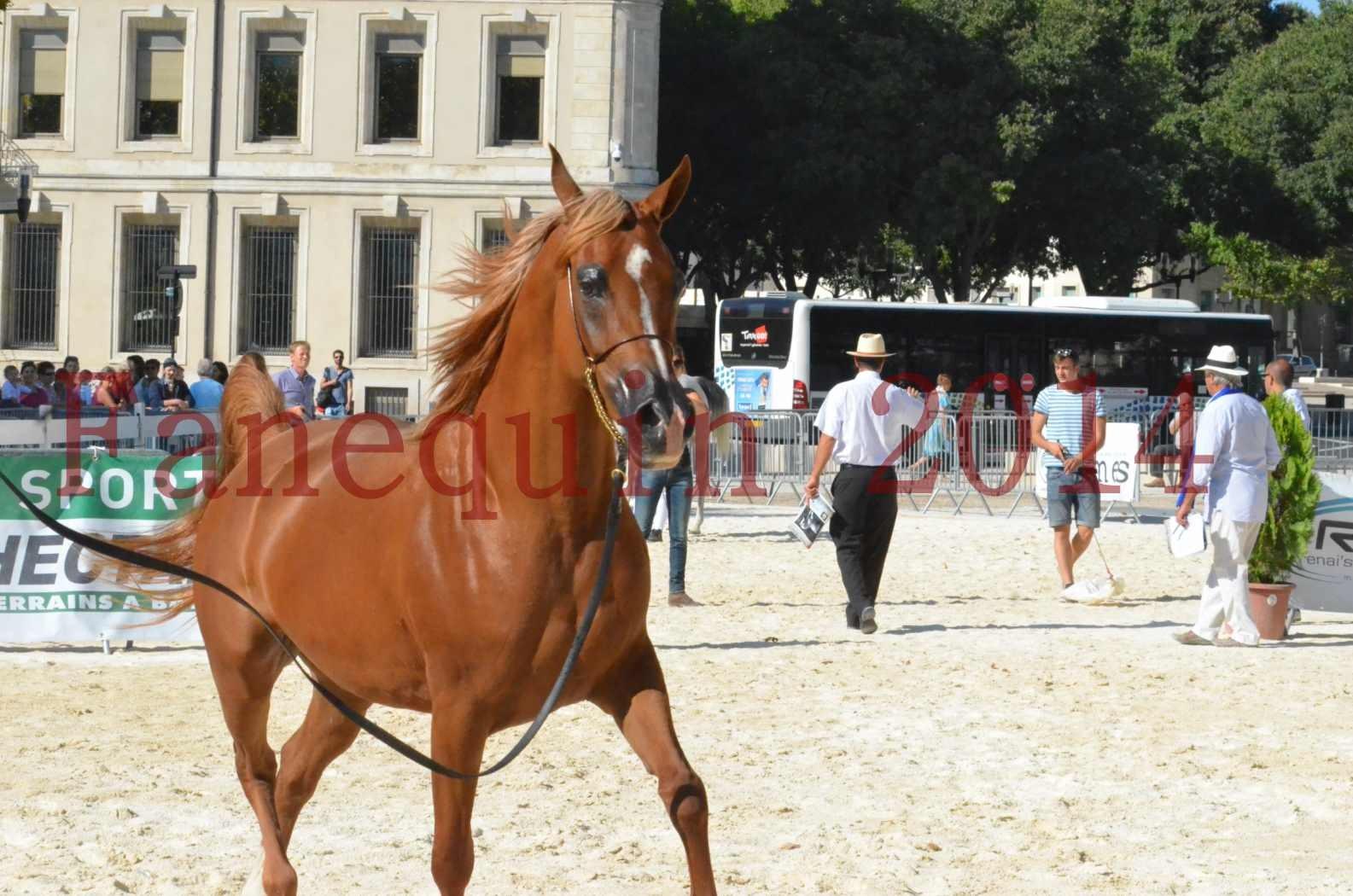 Concours National de Nîmes de chevaux ARABES 2014 - Championnat - MASSAI DE BARREL - 70