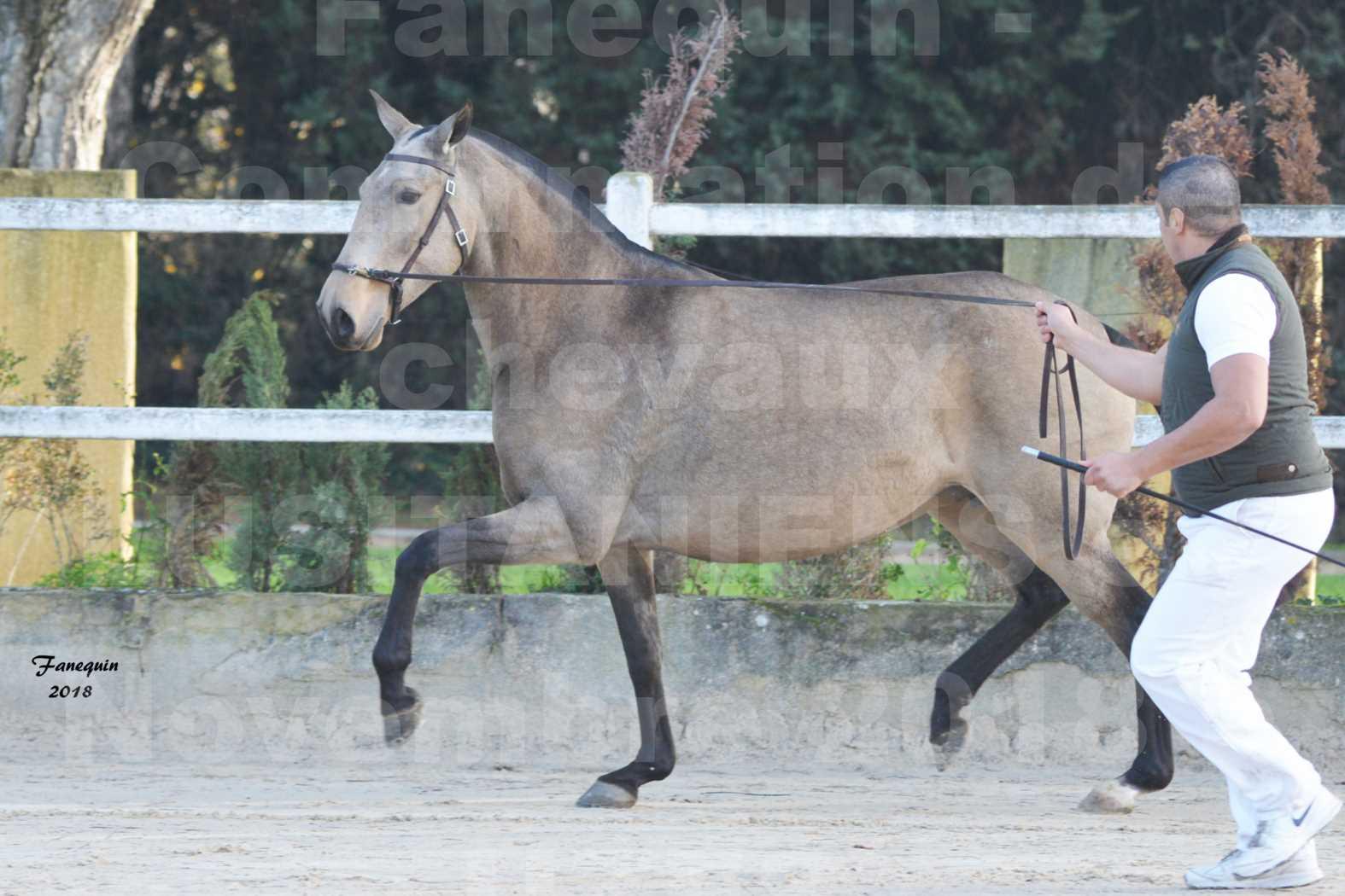Confirmation de chevaux LUSITANIENS aux Haras d'UZES Novembre 2018 - DISTINTE - 3