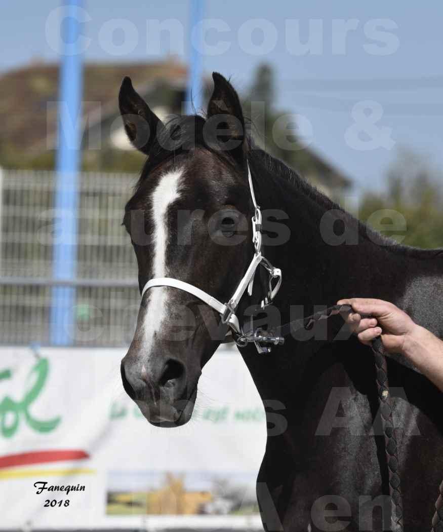 Concours d'élevage de Chevaux Arabes - Demi Sang Arabes - Anglo Arabes - ALBI les 6 & 7 Avril 2018 - GUANGZHOU ARTAGNAN - Notre Sélection - Portraits - 2