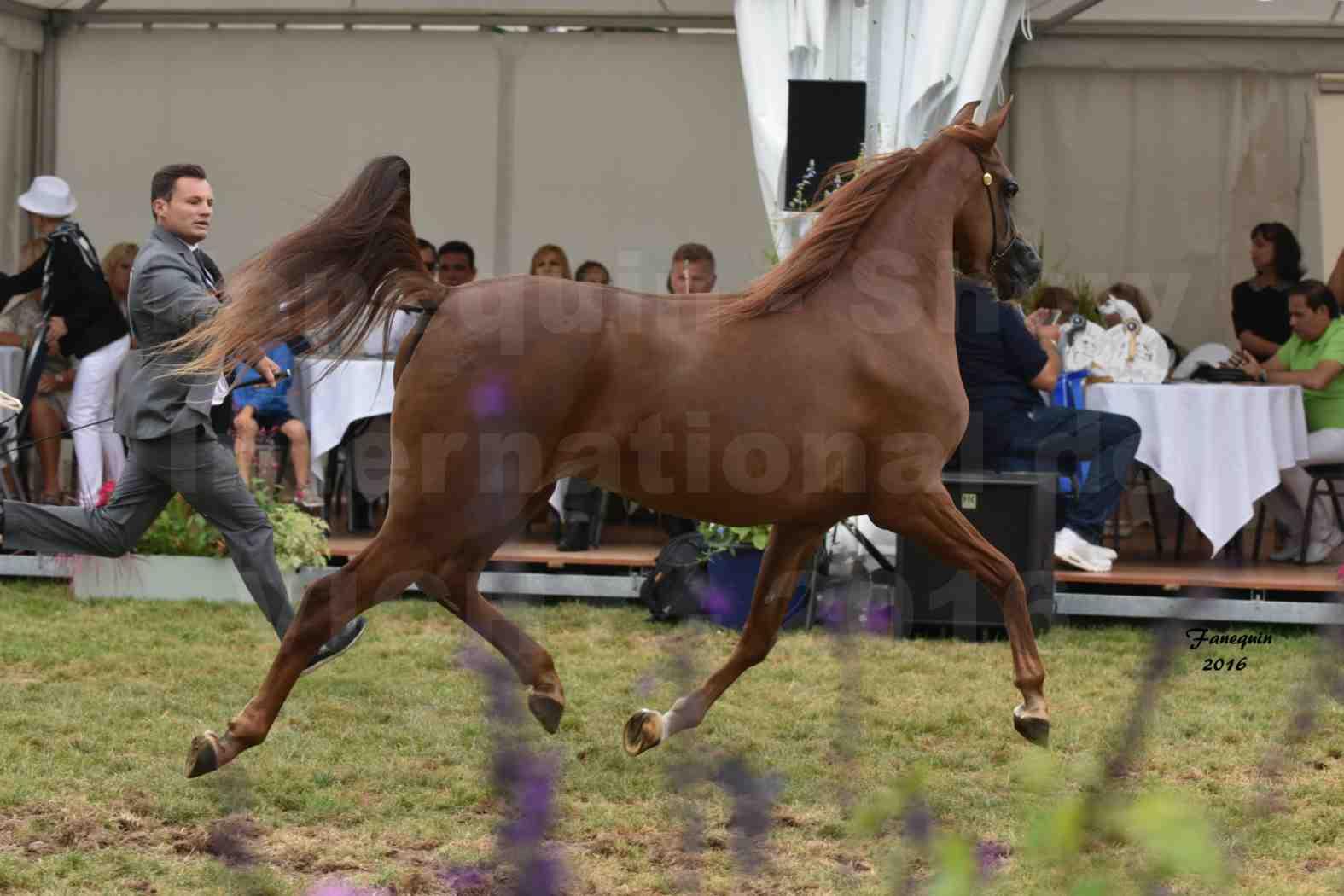 International Arabian Horse Show B de VICHY 2016 - PEARL DE DJOON - Notre Sélection - 21