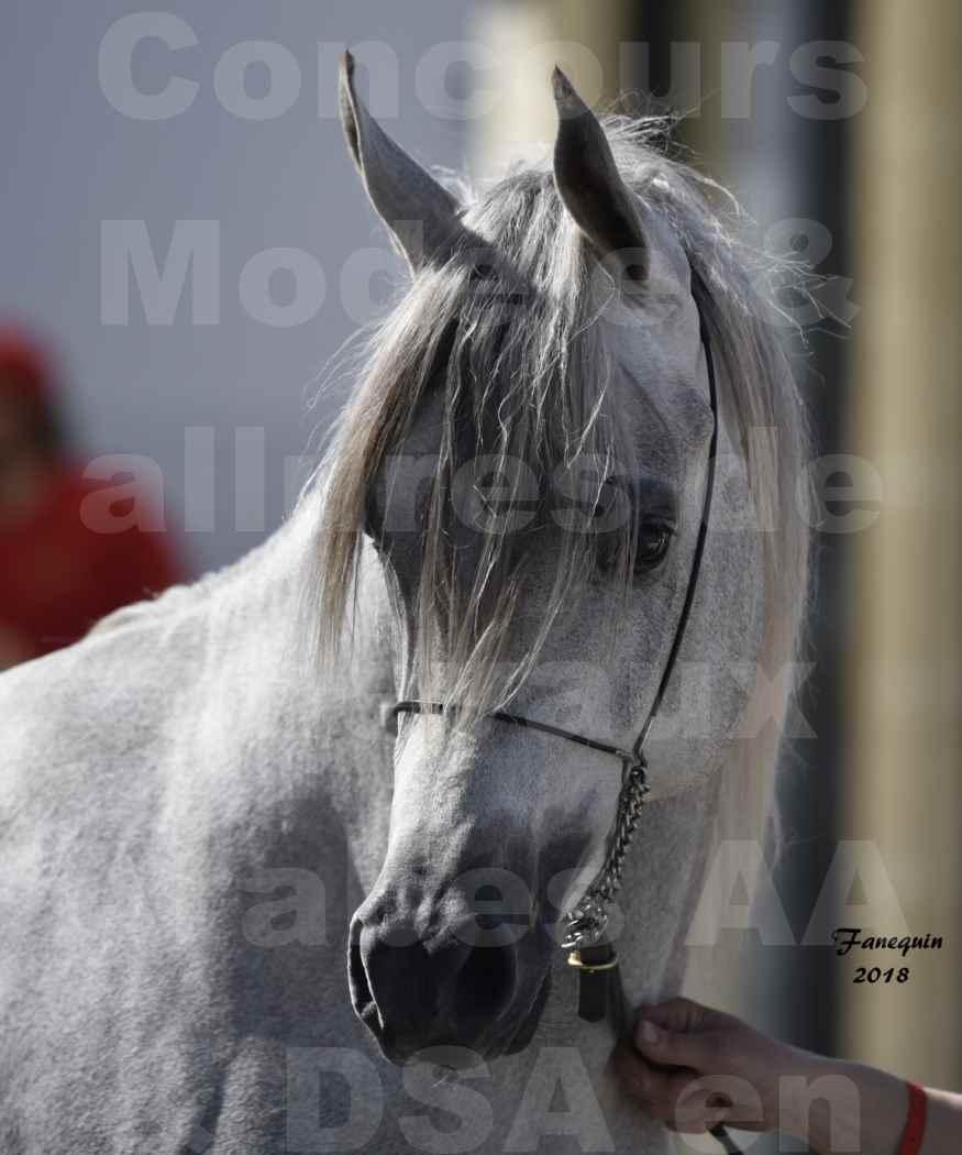 Concours d'élevage de Chevaux Arabes - Demi Sang Arabes - Anglo Arabes - ALBI les 6 & 7 Avril 2018 - SHAKEEL DE LAFON - Notre Sélection - Portraits - 3