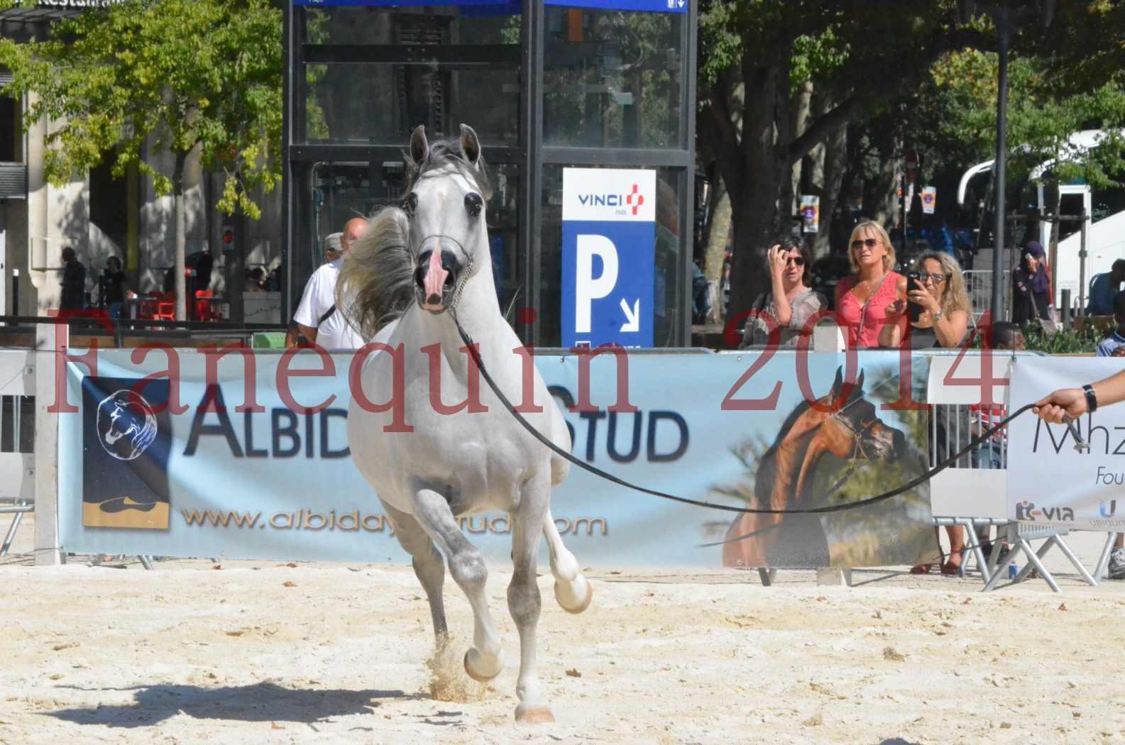 Concours National de Nîmes de chevaux ARABES 2014 - Sélection - SHAOLIN DE NEDJAIA - 47
