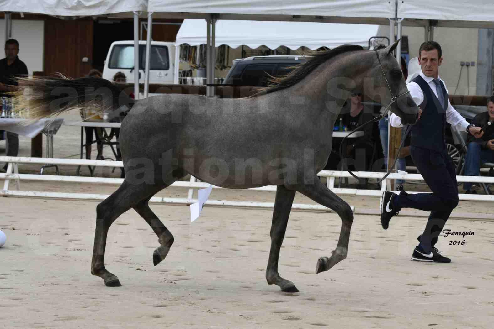 Show national de chevaux arabes de CHAZEY sur AIN 2016 - NM HACINA - Notre Sélection - 01