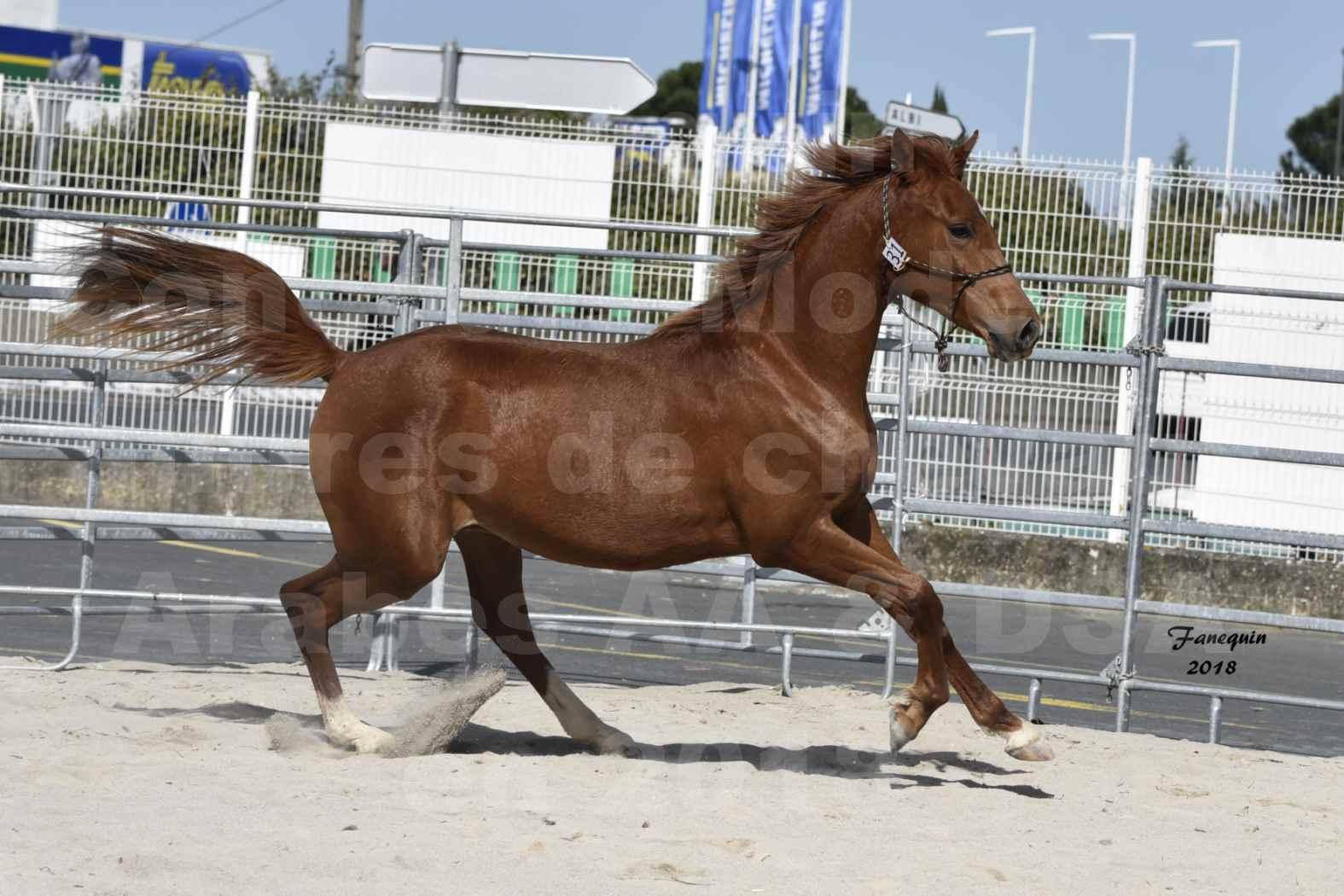 Concours d'élevage de Chevaux Arabes - D. S. A. - A. A. - ALBI les 6 & 7 Avril 2018 - GRIOU DU GRIOU - Notre Sélection - 6