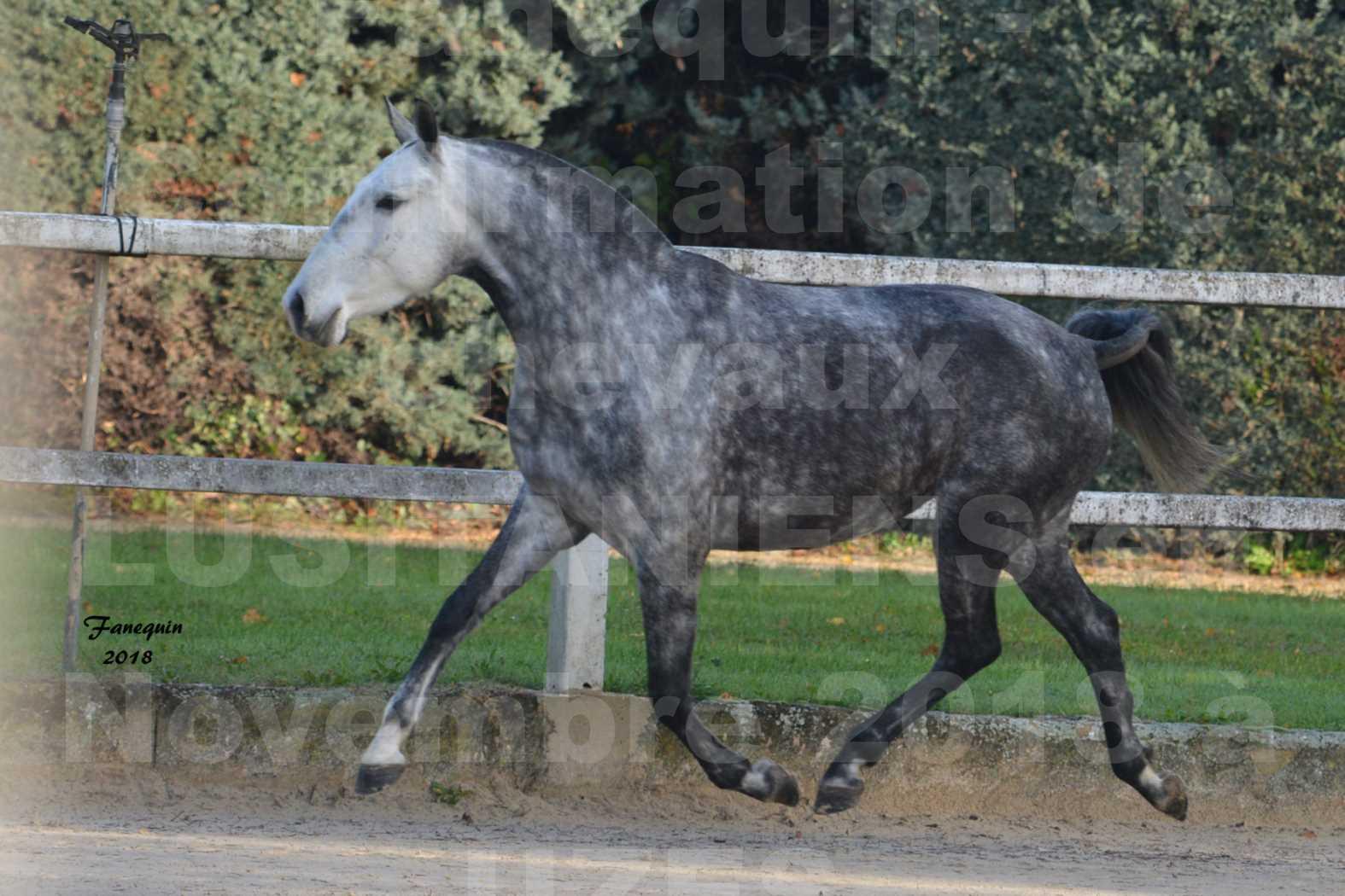 Confirmation de chevaux LUSITANIENS aux Haras d'UZES Novembre 2018 - JANIA SAINT SAUVEUR - 3
