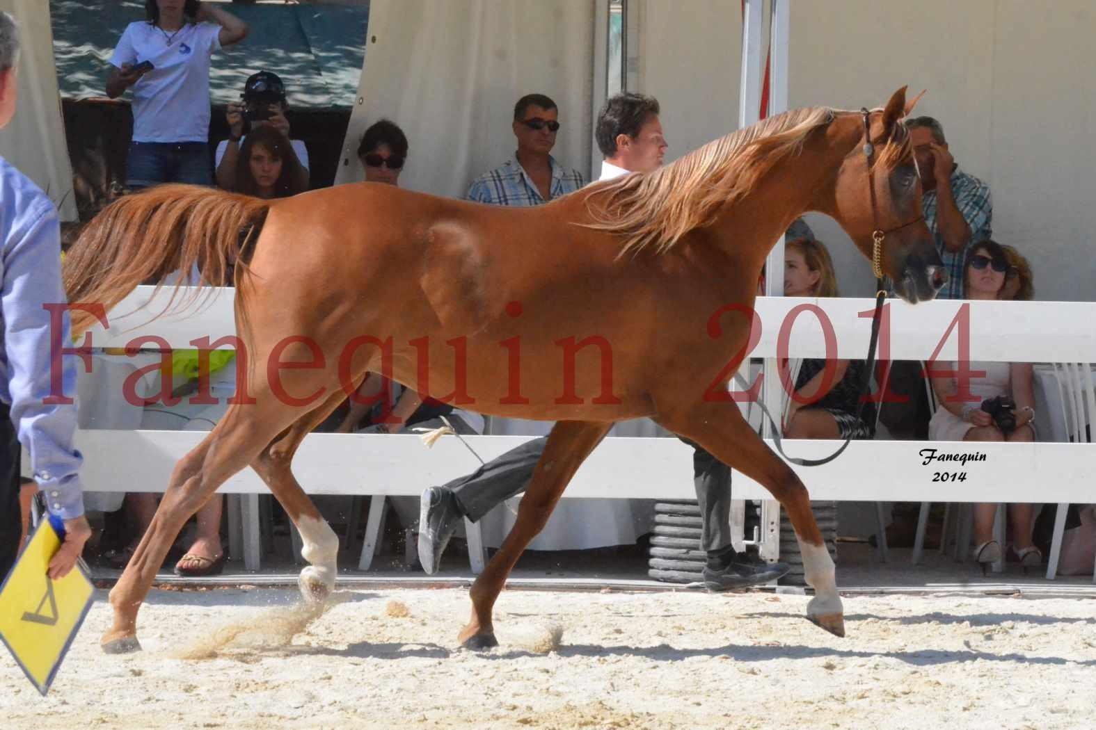Concours National de Nîmes de chevaux ARABES 2014 - Notre Sélection - MASSAI DE BARREL - 01