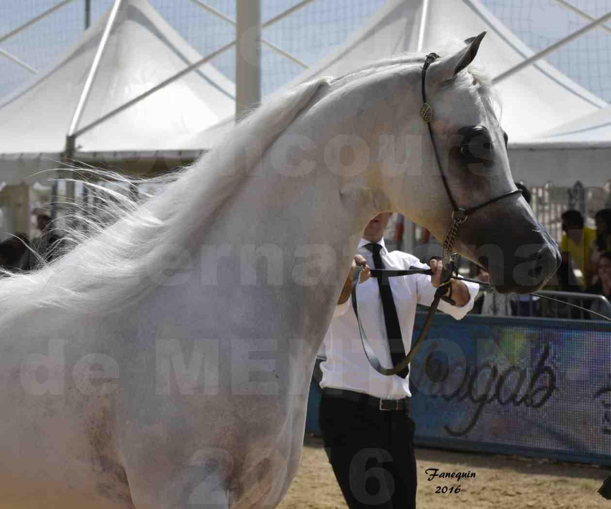 Show International de chevaux ARABES de MENTON 2016 - AJA ANGELO - Notre Sélection - Portraits - 02