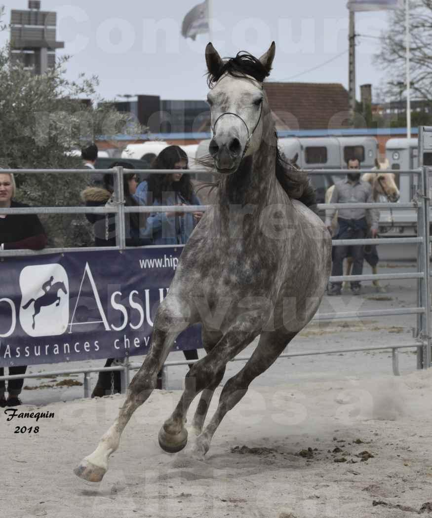 Concours d'élevage de Chevaux Arabes - Demi Sang Arabes - Anglo Arabes - ALBI les 6 & 7 Avril 2018 - PERCEVAL DE LAFON - Notre Sélection - 18
