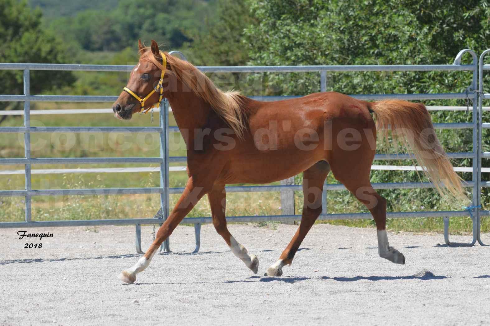 Concours d'Elevage de chevaux Arabes  le 27 juin 2018 à la BOISSIERE - FANGIO DES DOLINES - 05