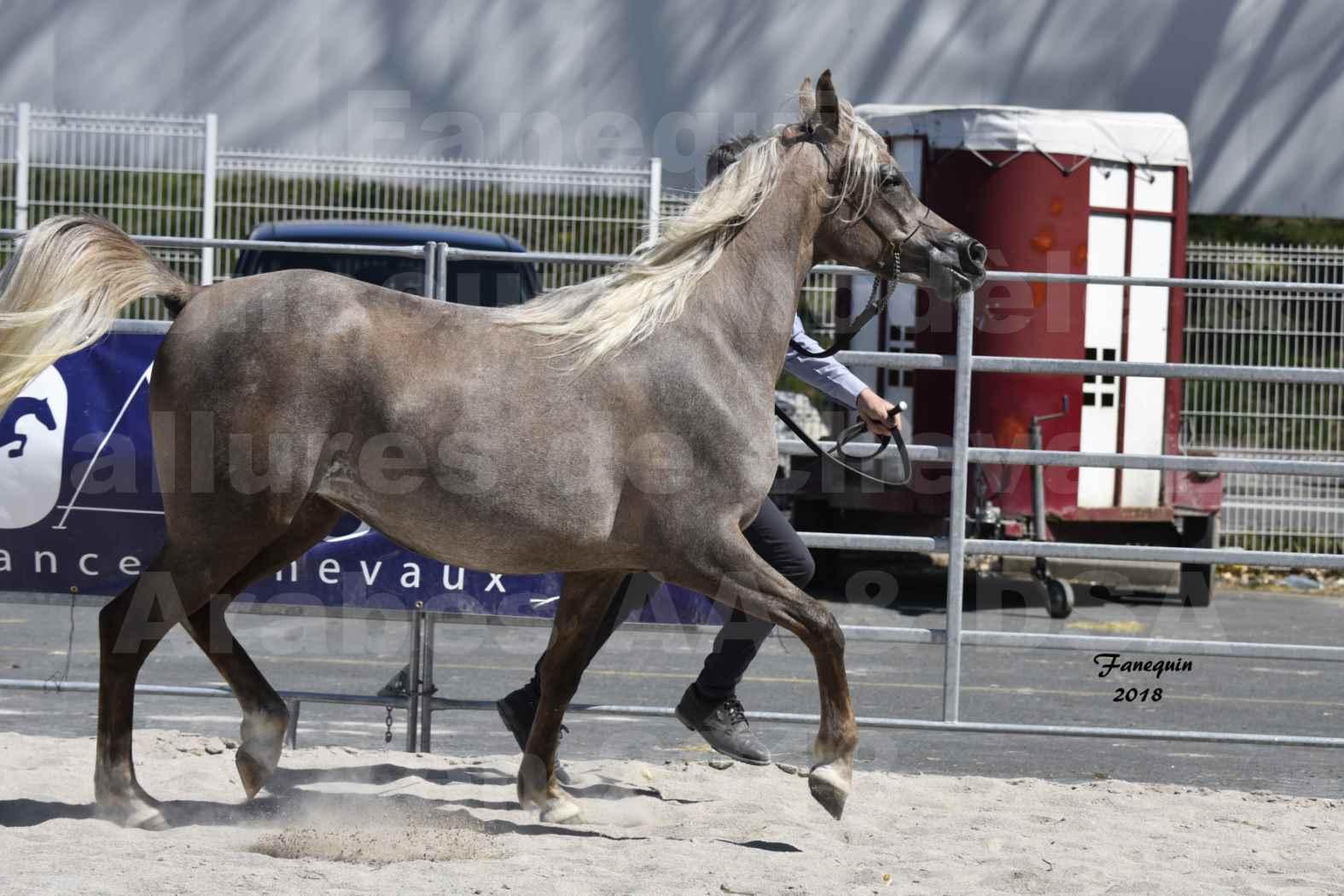 Concours d'élevage de Chevaux Arabes - Demi Sang Arabes - Anglo Arabes - ALBI les 6 & 7 Avril 2018 - DAENERYS DE LAFON - Notre Sélection - 03