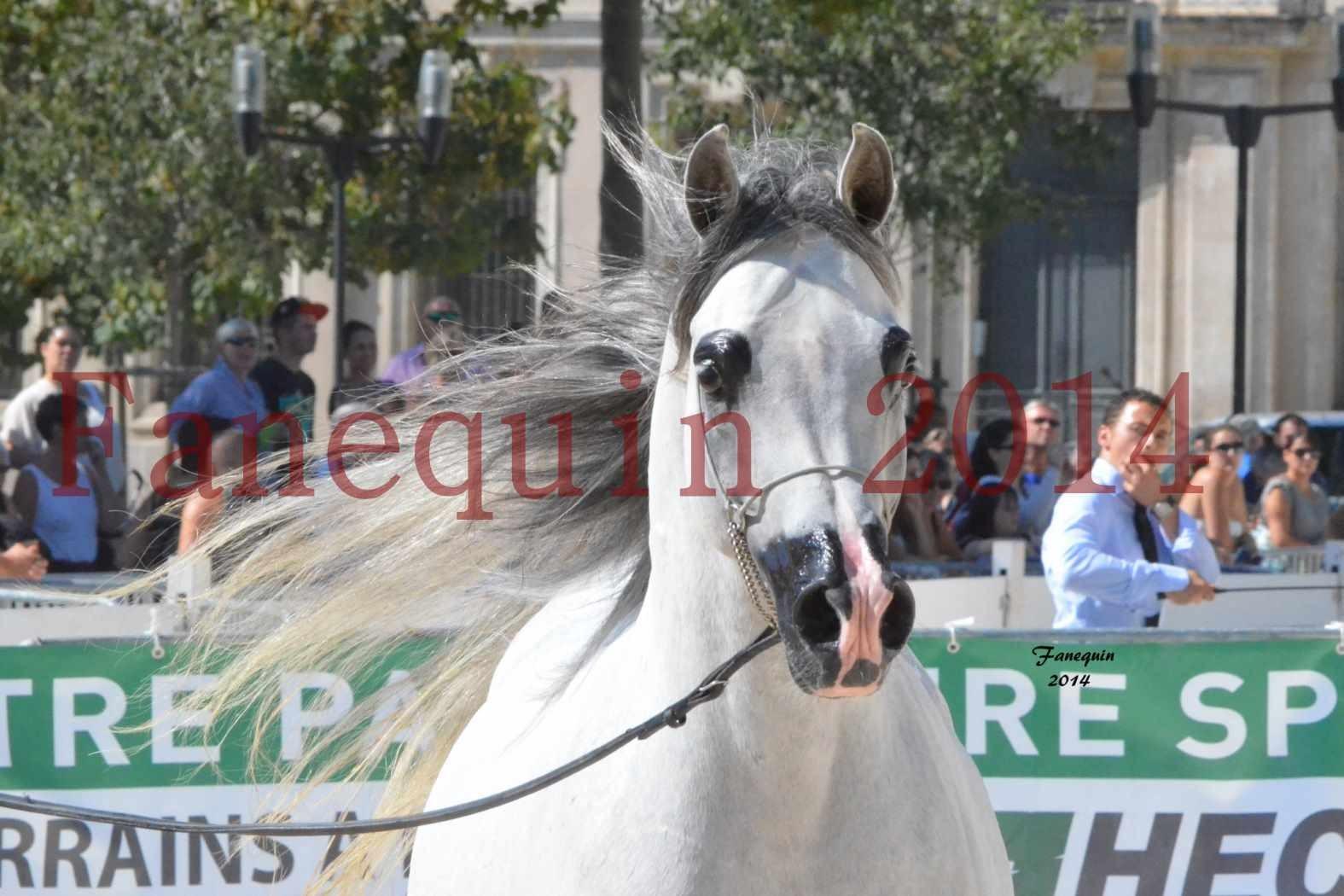 Concours National de Nîmes de chevaux ARABES 2014 - Notre Sélection - Portraits - SHAOLIN DE NEDJAIA - 10