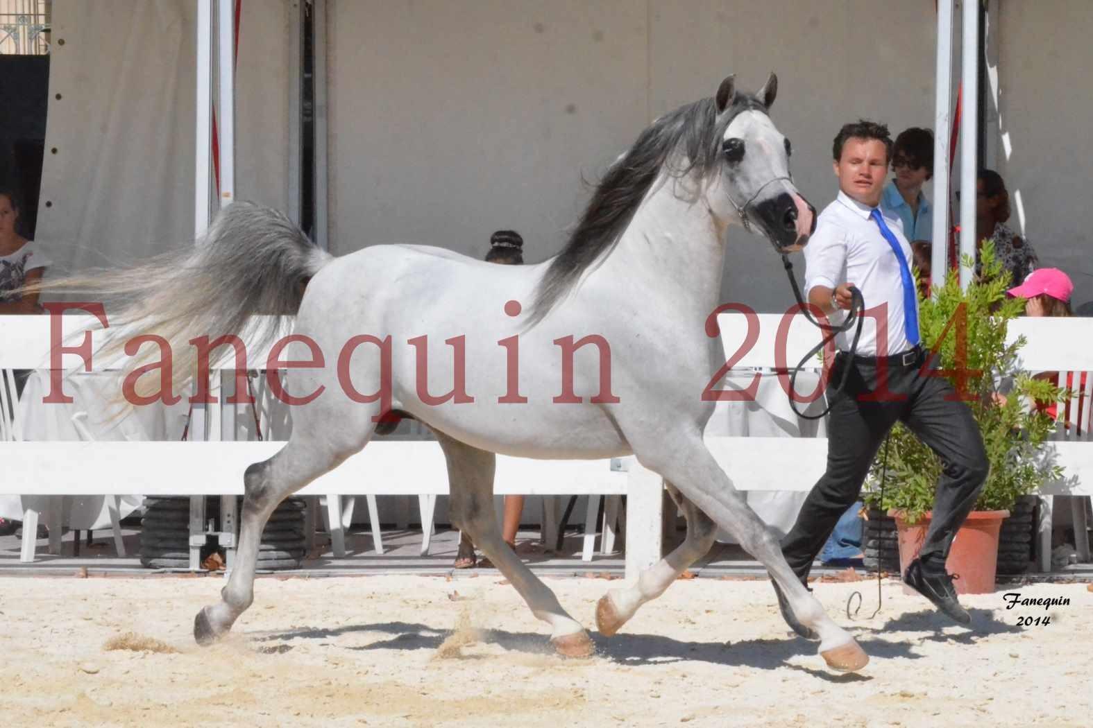 Concours National de Nîmes de chevaux ARABES 2014 - Notre Sélection - SHAOLIN DE NEDJAIA - 04