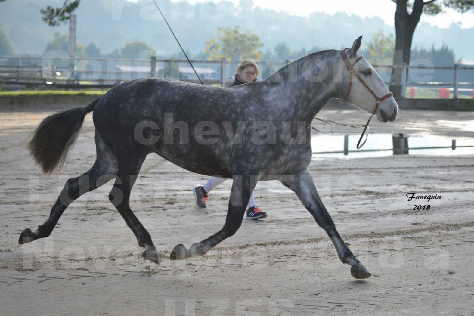 Confirmation de chevaux LUSITANIENS aux Haras d'UZES Novembre 2018 - JANIA SAINT SAUVEUR - 5