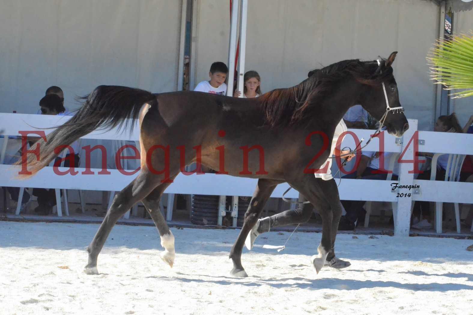 Concours National de Nîmes de chevaux ARABES 2014 - Notre Sélection - BALTYK DE CHAUMONT - 5