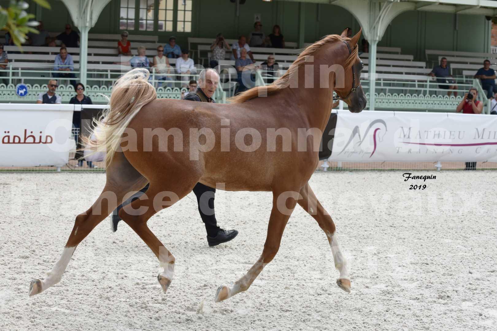 Championnat de France des chevaux Arabes en 2019 à VICHY - NILMANI SH - 4