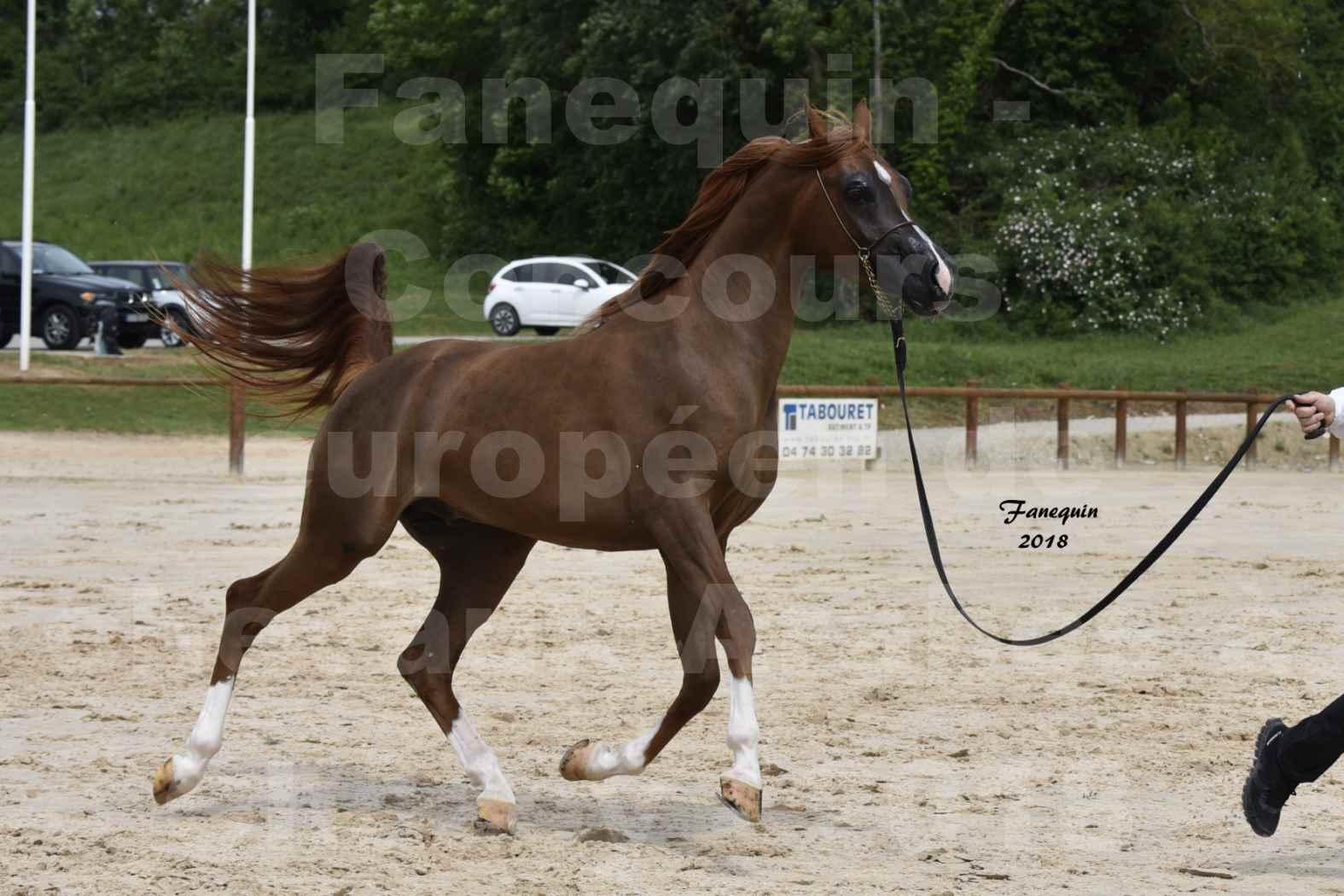 Concours Européen de chevaux Arabes à Chazey sur Ain 2018 - FANTASTIK - Notre Sélection - 2