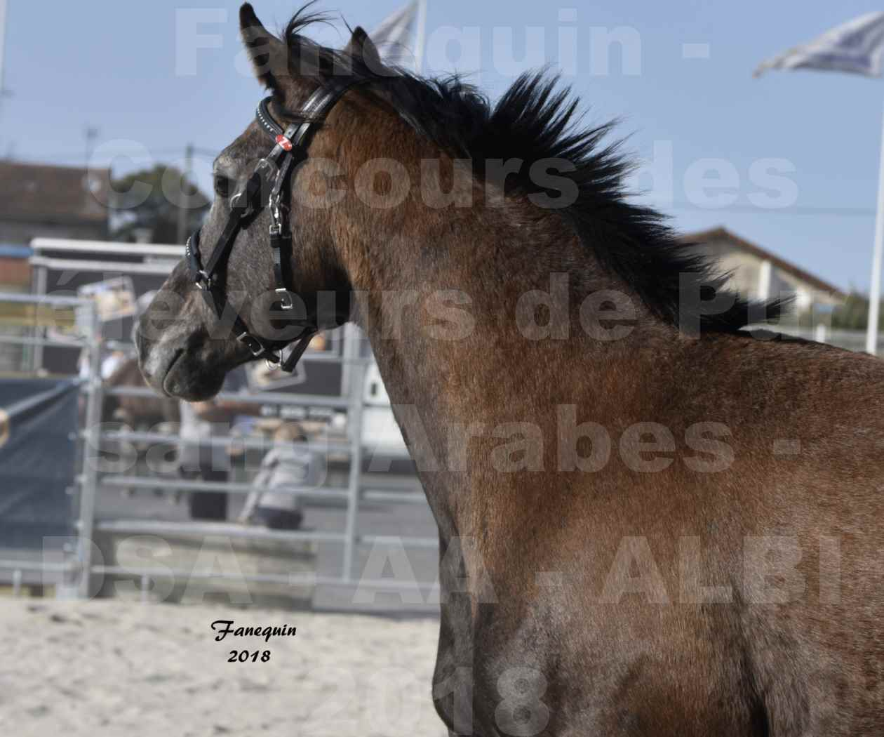 Concours d'élevage de Chevaux Arabes - Demi Sang Arabes - Anglo Arabes - ALBI les 6 & 7 Avril 2018 - GOUMRI DE L'AIGOUAL - Notre Sélection Portraits - 1