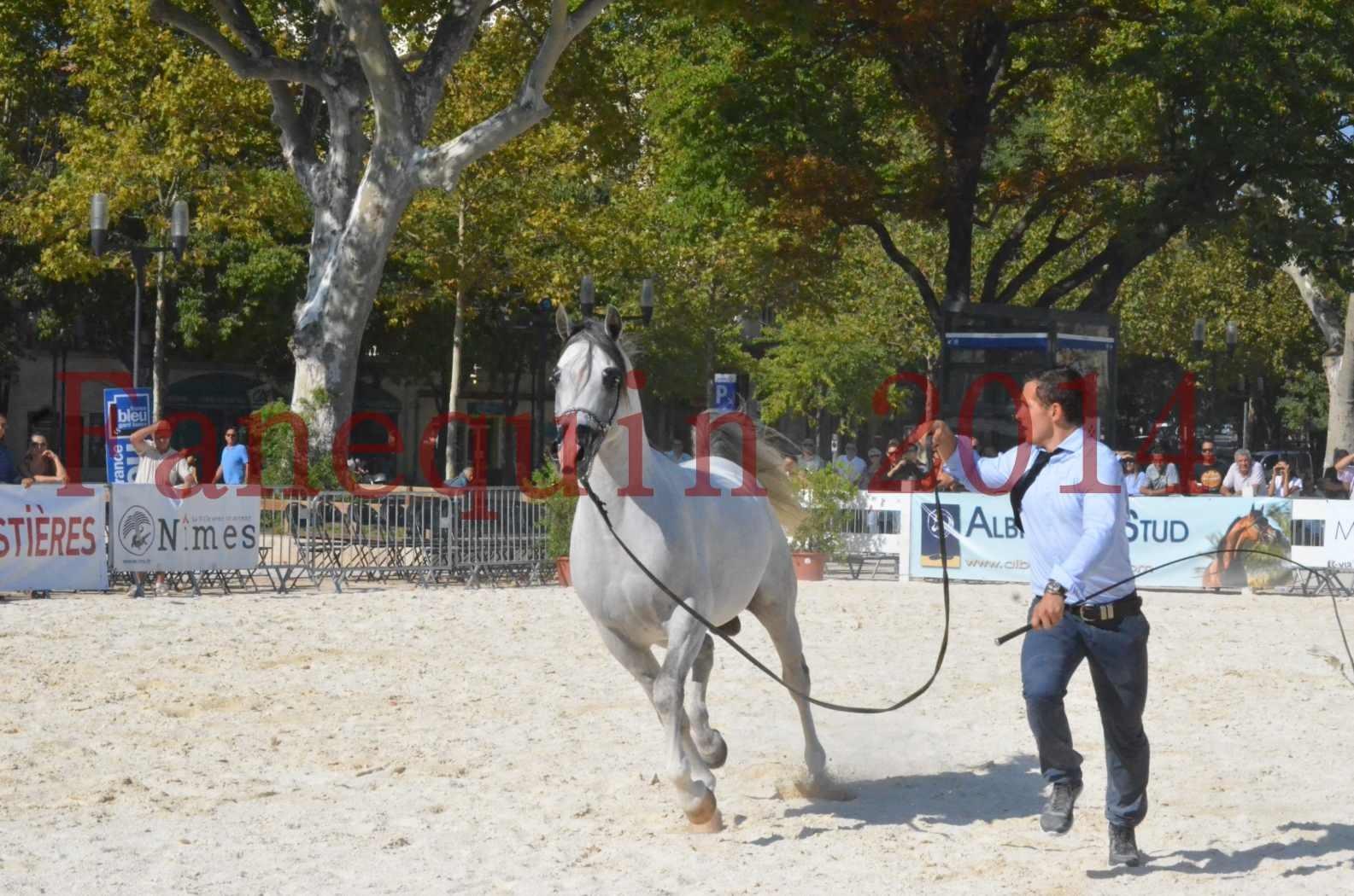 Concours National de Nîmes de chevaux ARABES 2014 - Championnat - SHAOLIN DE NEDJAIA - 29