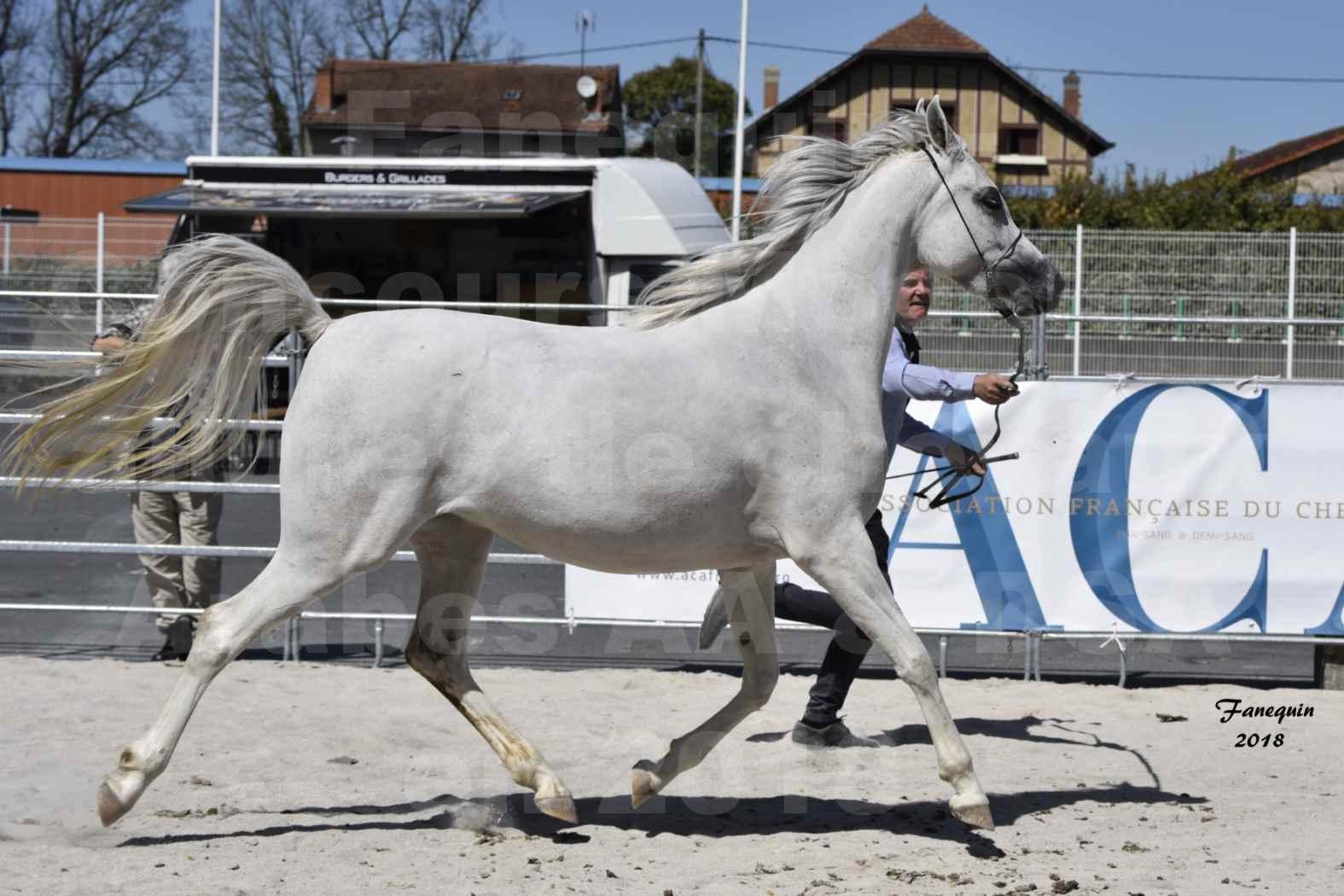 Concours d'élevage de Chevaux Arabes - Demi Sang Arabes - Anglo Arabes - ALBI les 6 & 7 Avril 2018 - FEDORA DE LAFON - Notre Sélection - 1