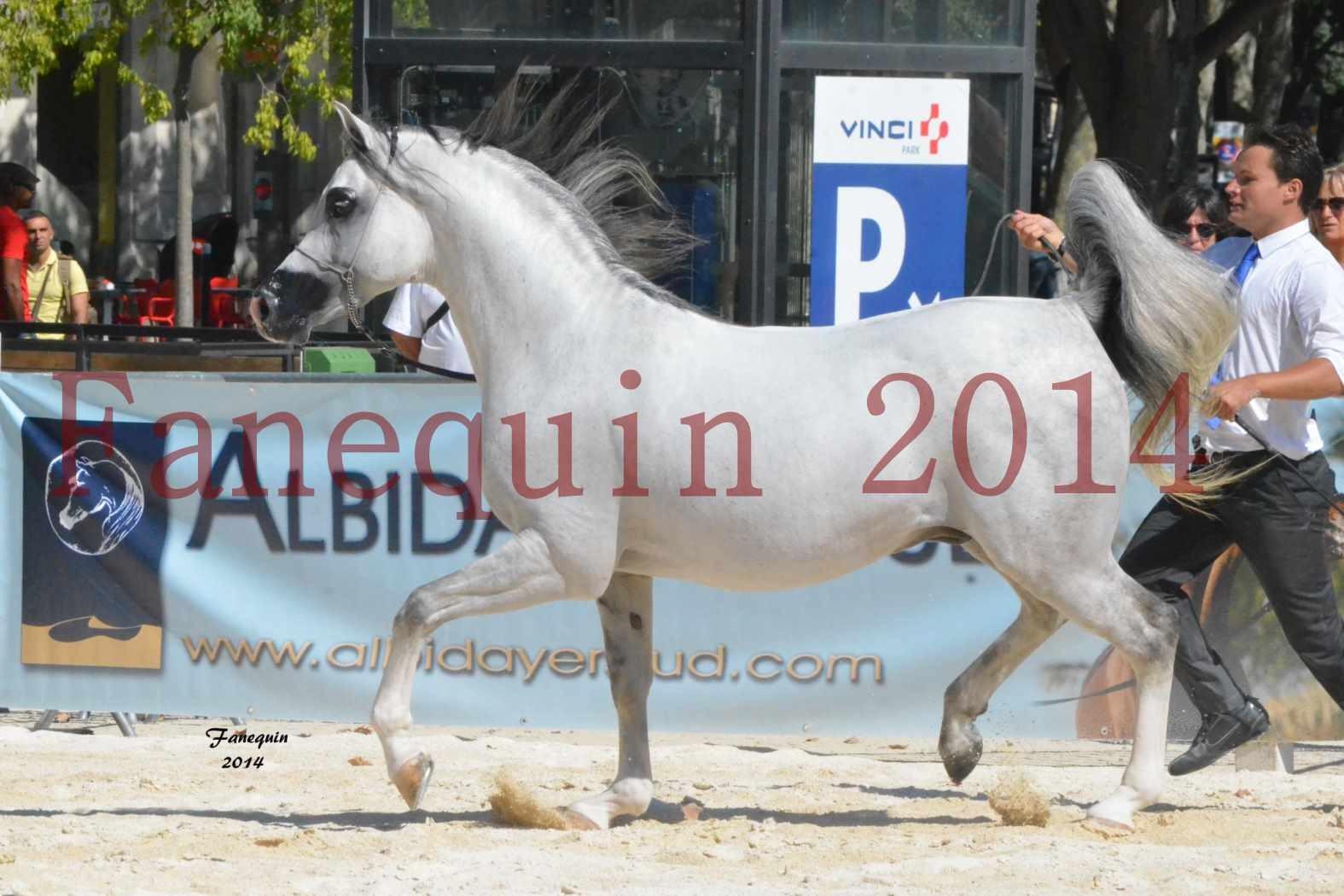 Concours National de Nîmes de chevaux ARABES 2014 - Notre Sélection - SHAOLIN DE NEDJAIA - 17